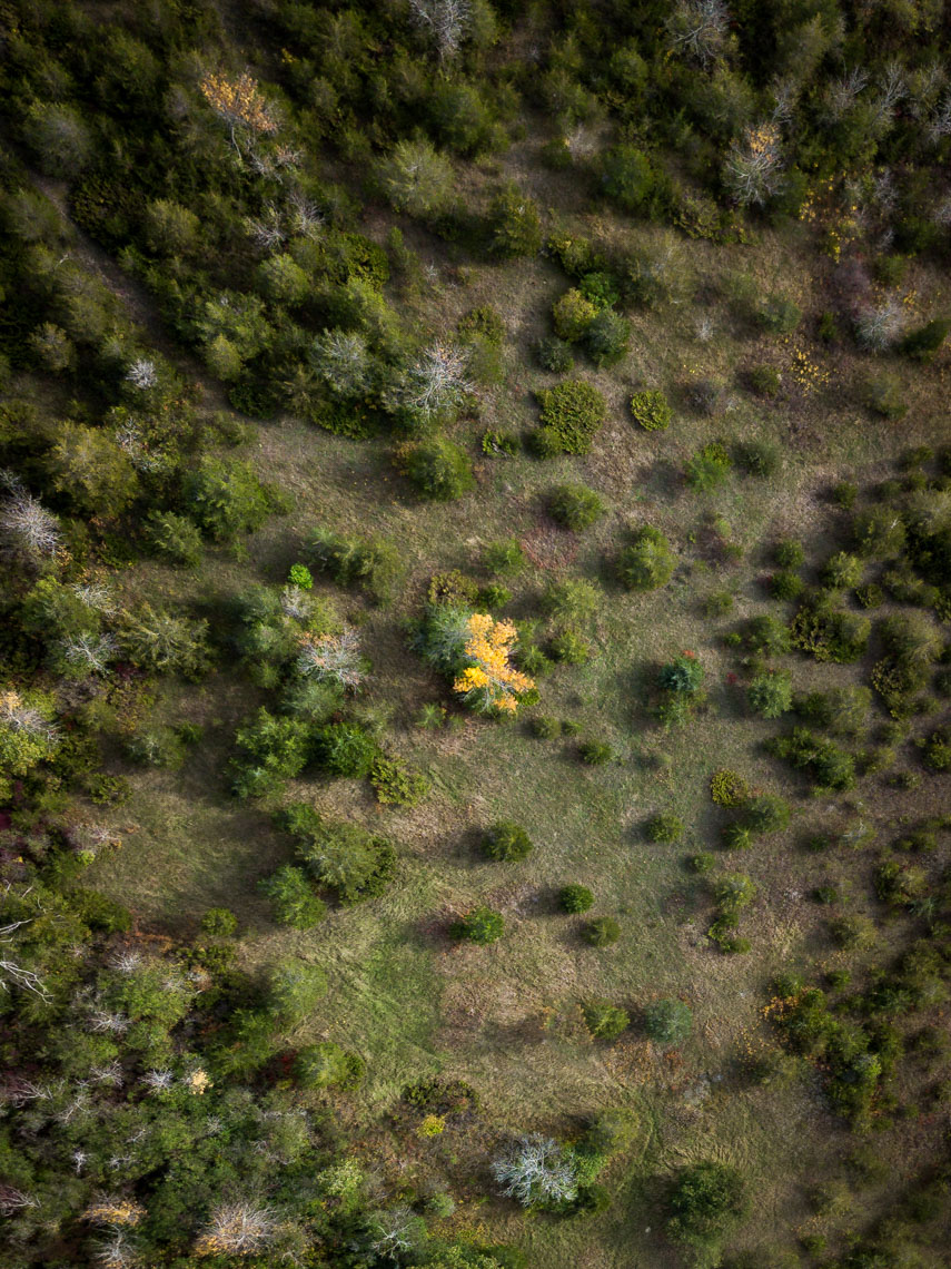 Aerial view of a field in Prince Edward County, one yellow tree surrounded by green trees