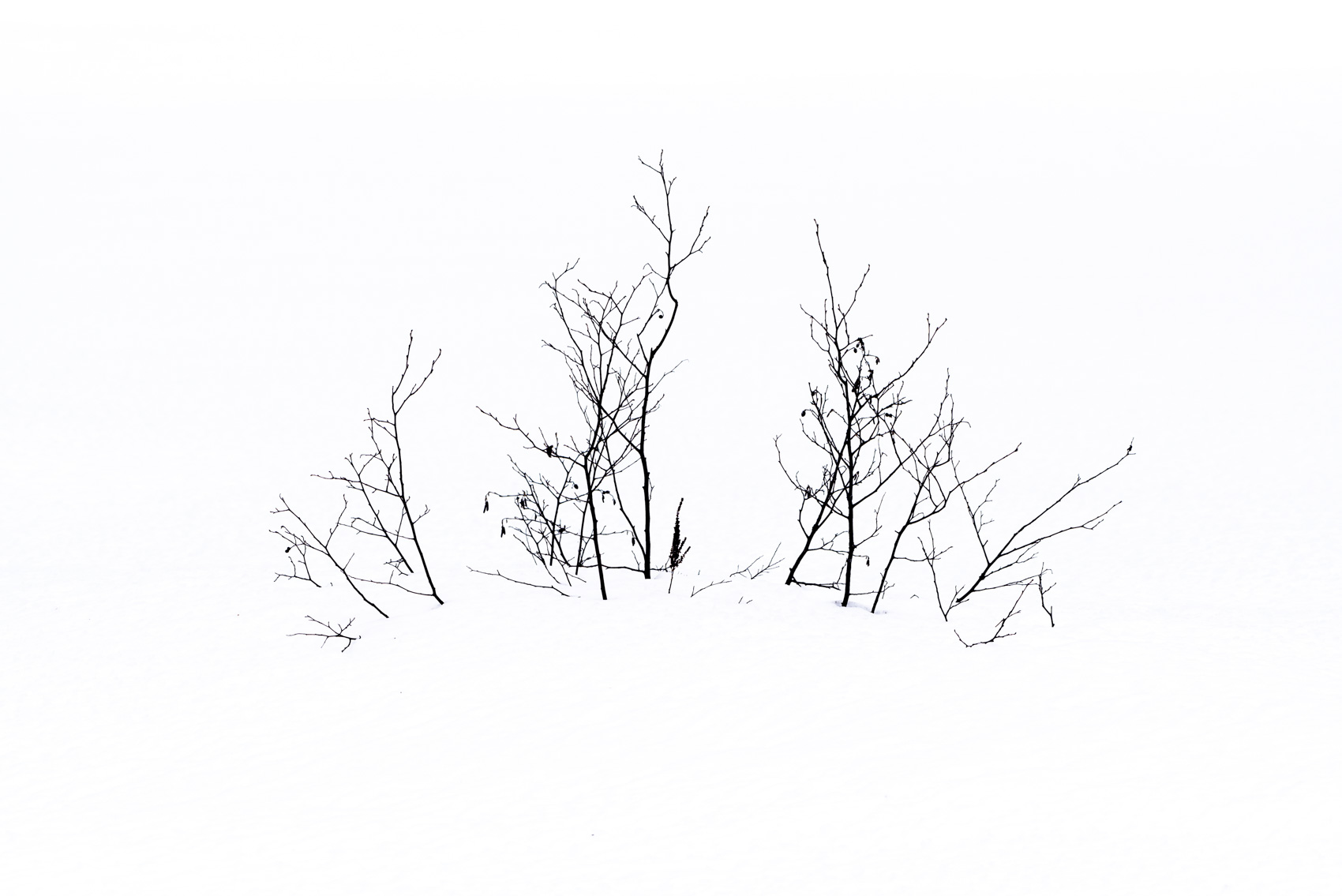 Barren shrub and branches in winter snow