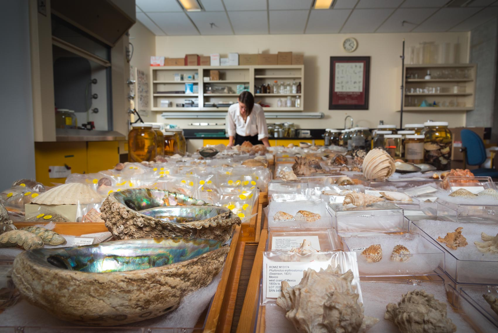 A MSc student looking through the molluscs collection at the Royal Ontario Museum