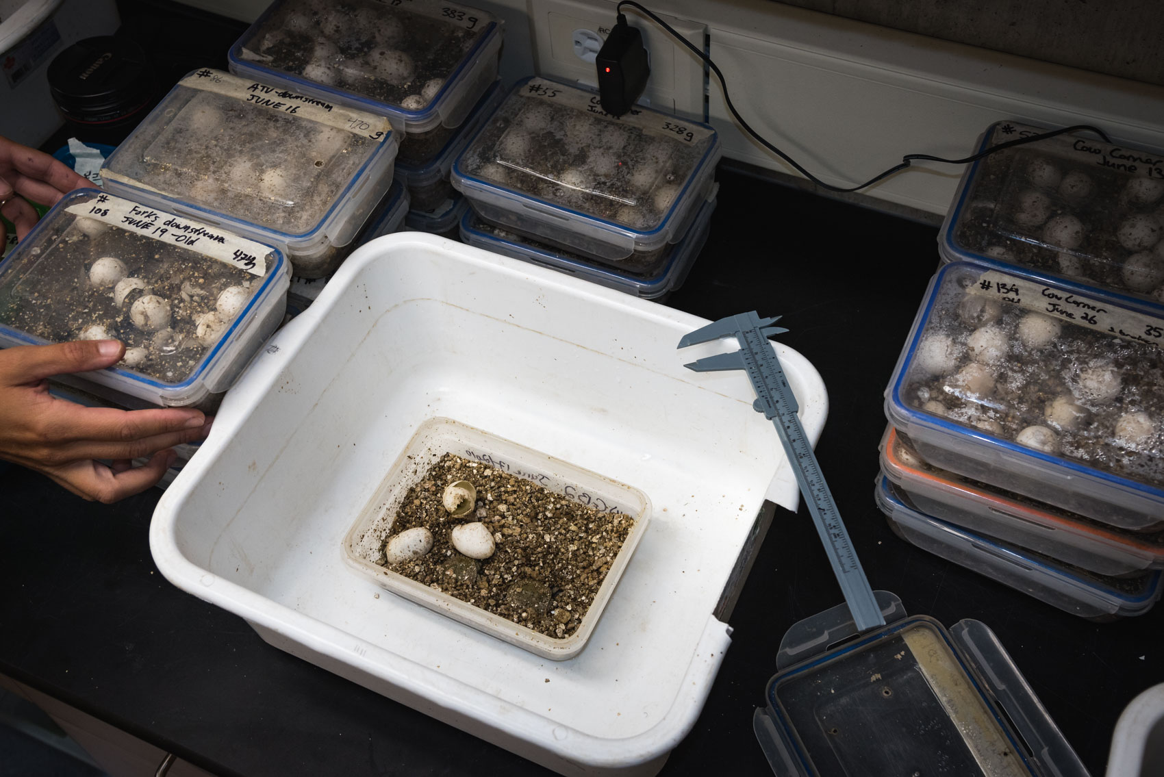 Hatching and measuring juvenile spiny soft shell turtles at a restoration lab  © David Coulson Canadian conservation photojournalist