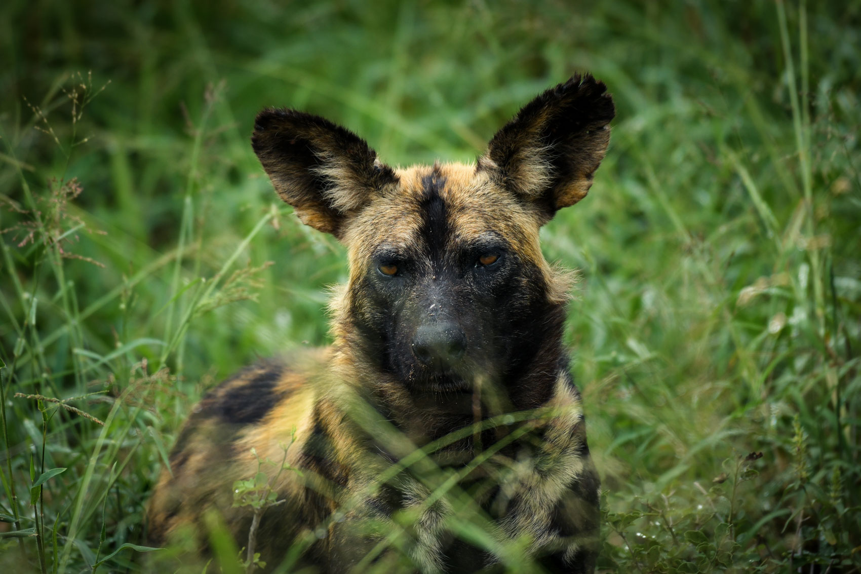 African Wild Dog laying down at Kruger National Park in South Africa