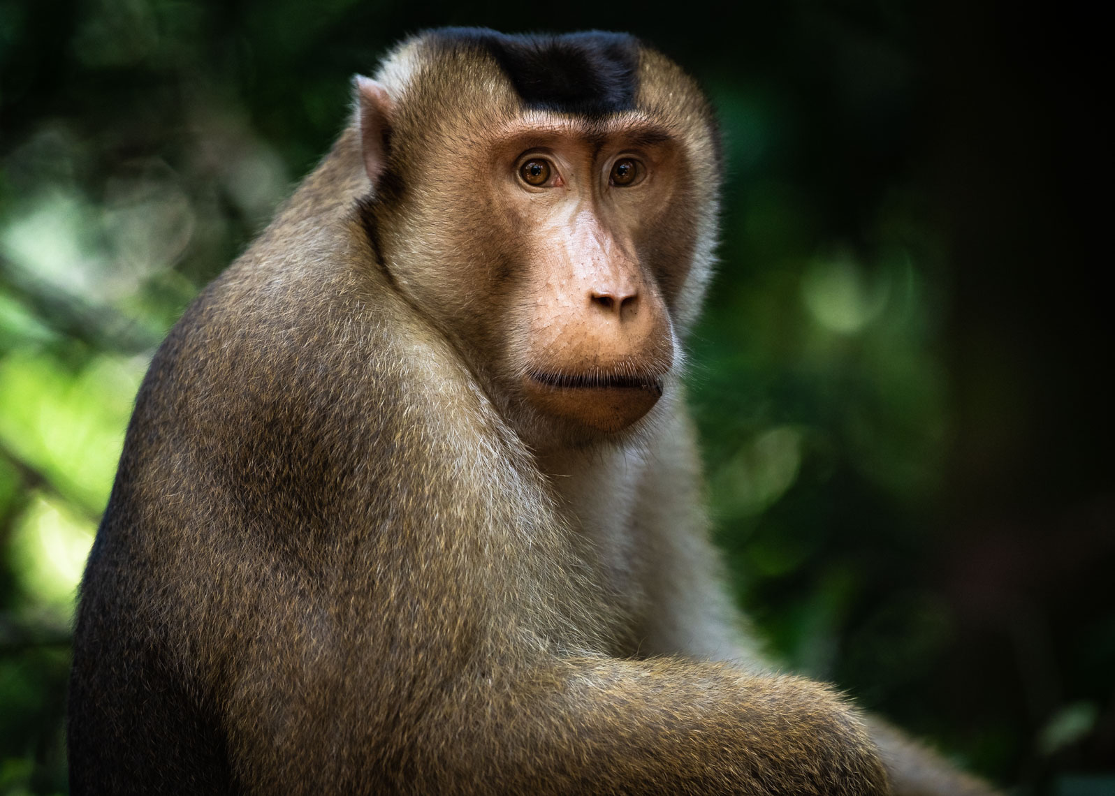 Southern pig-tailed macaque in an Indonesian rainforest