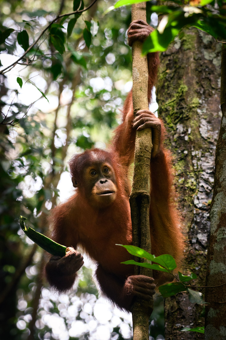 Sumatran baby orangutan hanging from branch in Gunung Leuser National Park