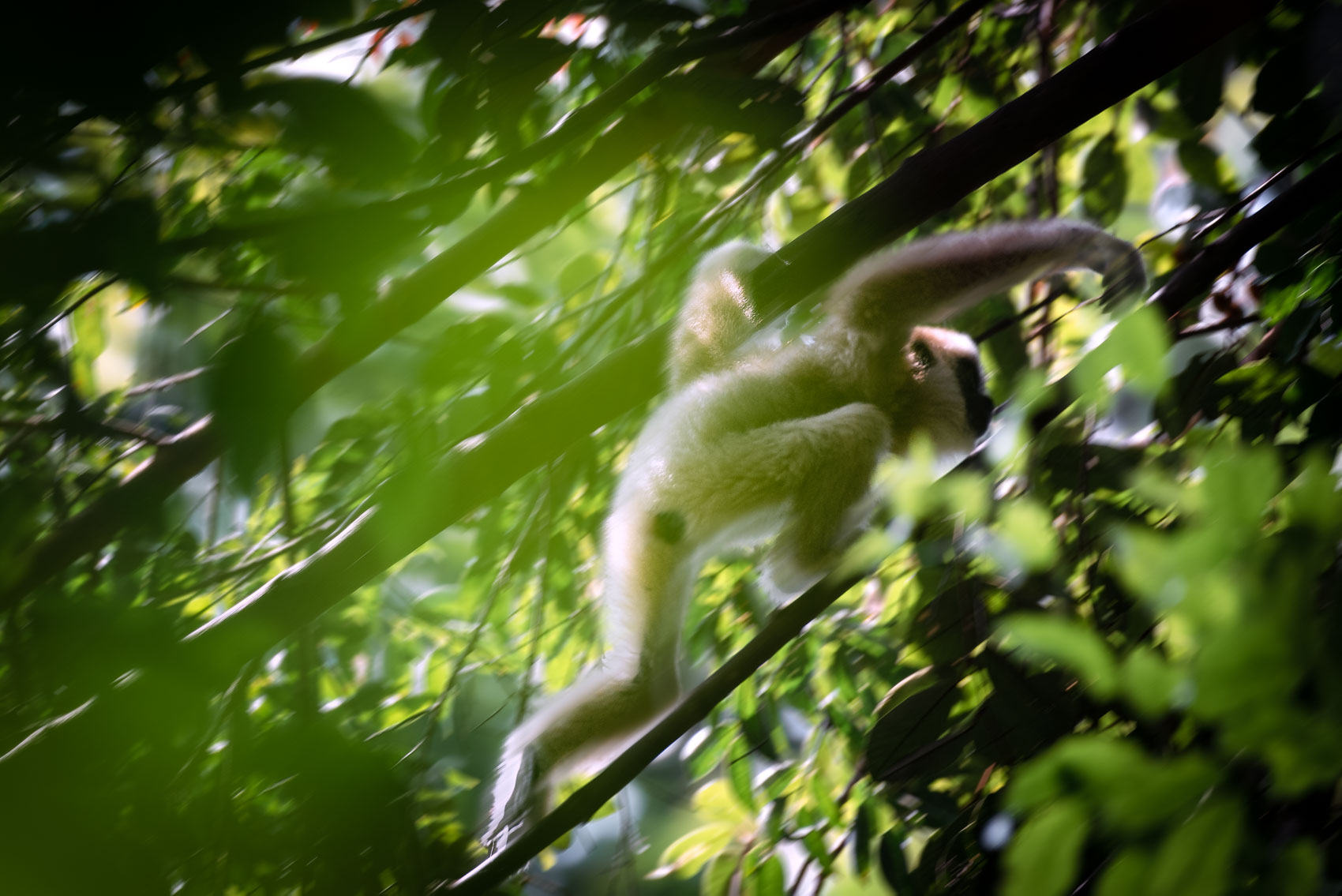 Lar gibbon baby climbing through forest canopy