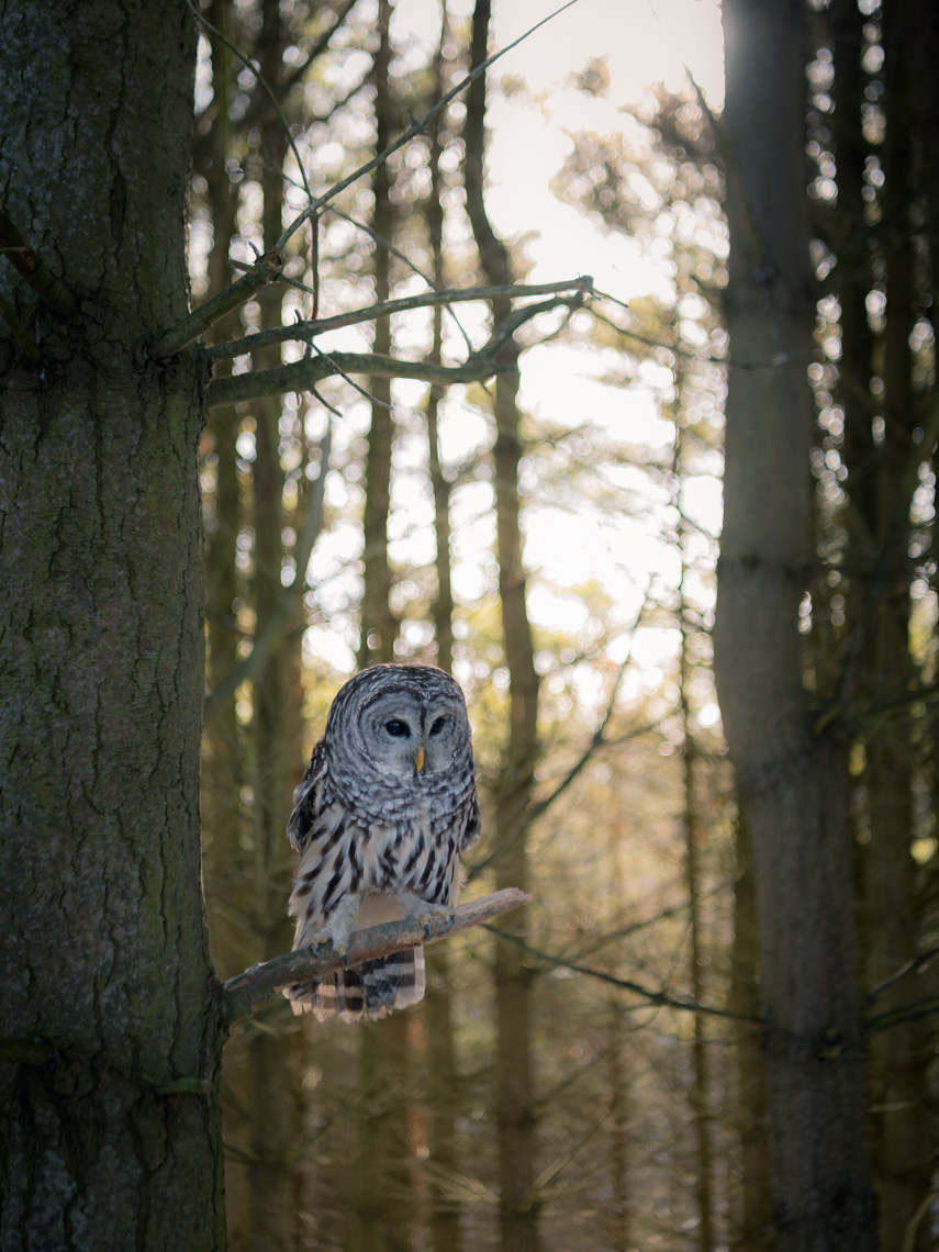 Barred owl perched on a tree in an Ontario Forest