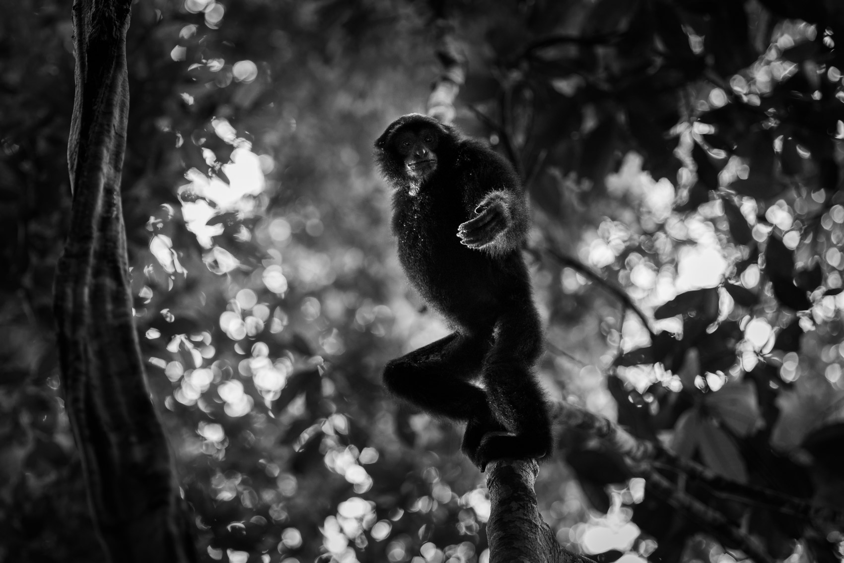 Siamang hanging from a branch with hand out in a rainforest