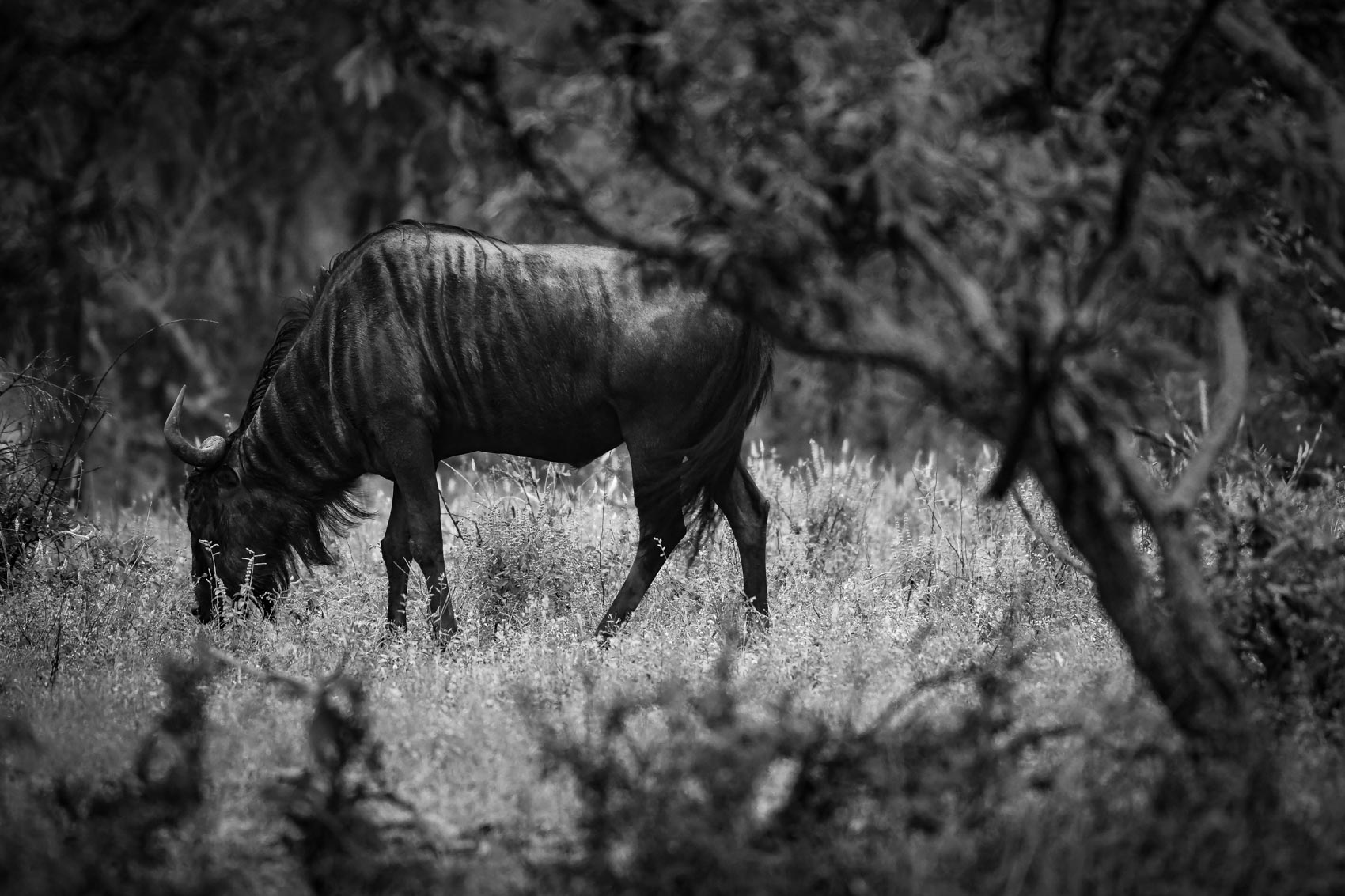 Wildebeest grazing on African Savana in Kruger National Park