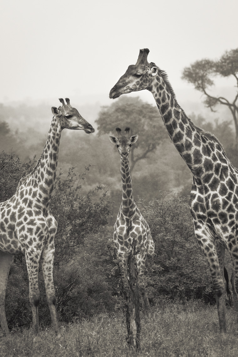 Three giraffes in the African savana in Kruger National Park
