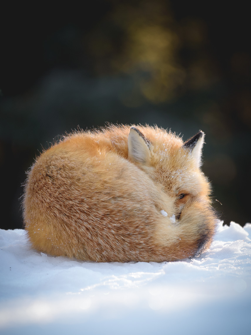 Red fox curled up on the ground in Algonquin Park in winter