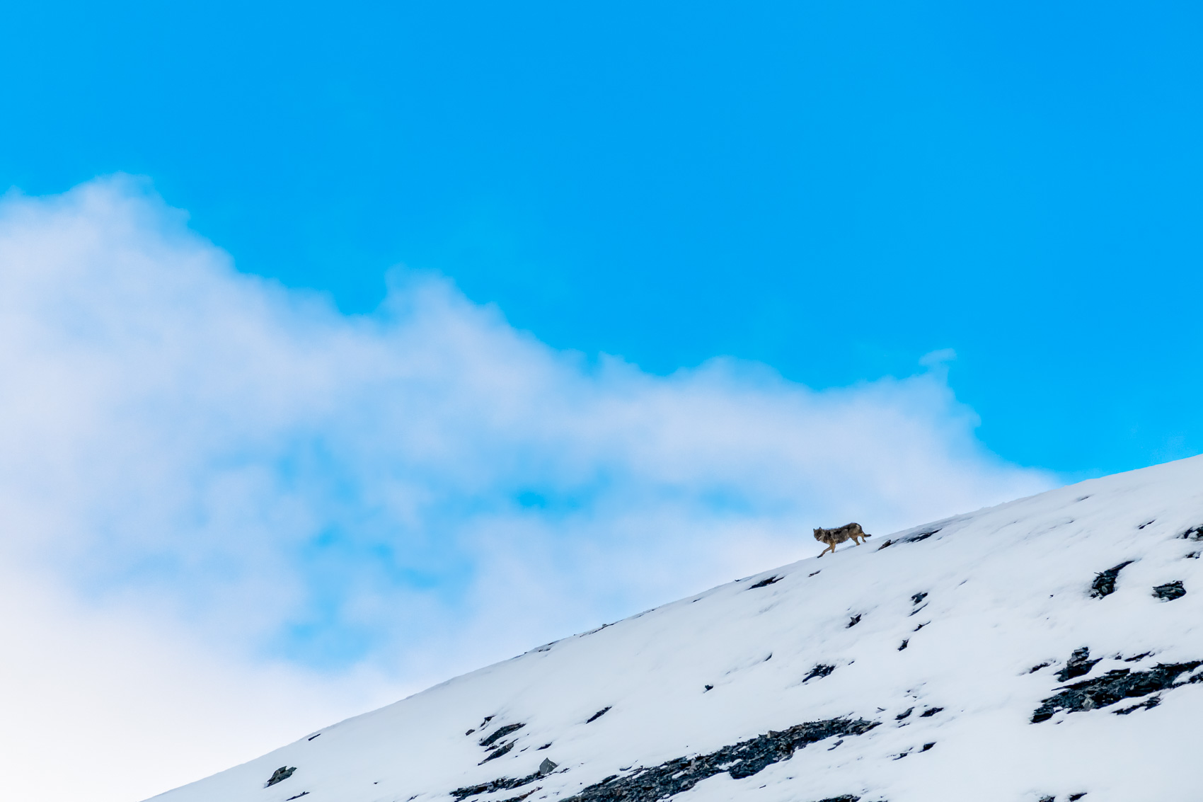 Gray Wolf trotting down a snowy slope in the Arctic National Wildlife Refuge