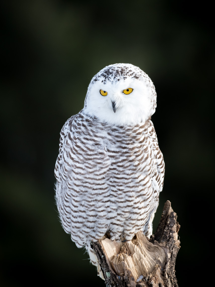 Snowy owl perched on a tree