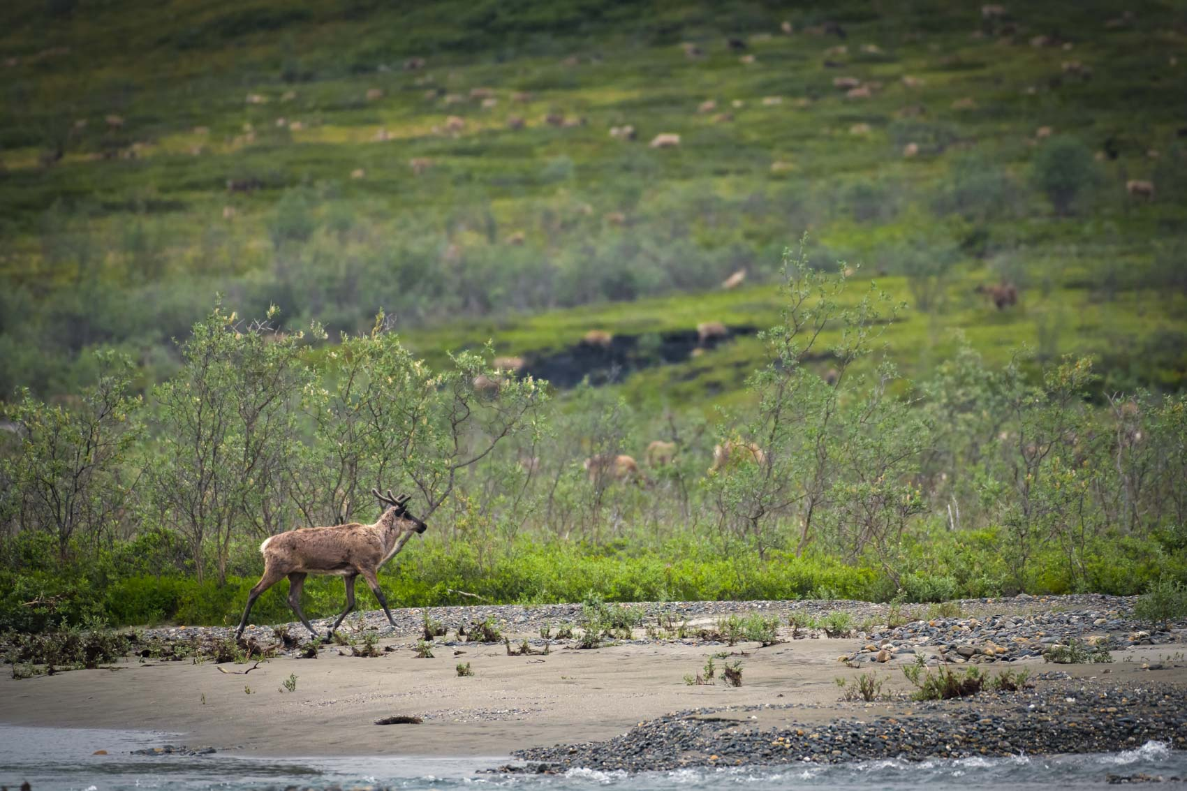 Porcupine caribou walking along the edge of the Huluhulu river in the in the Arctic National Wildlife Refuge