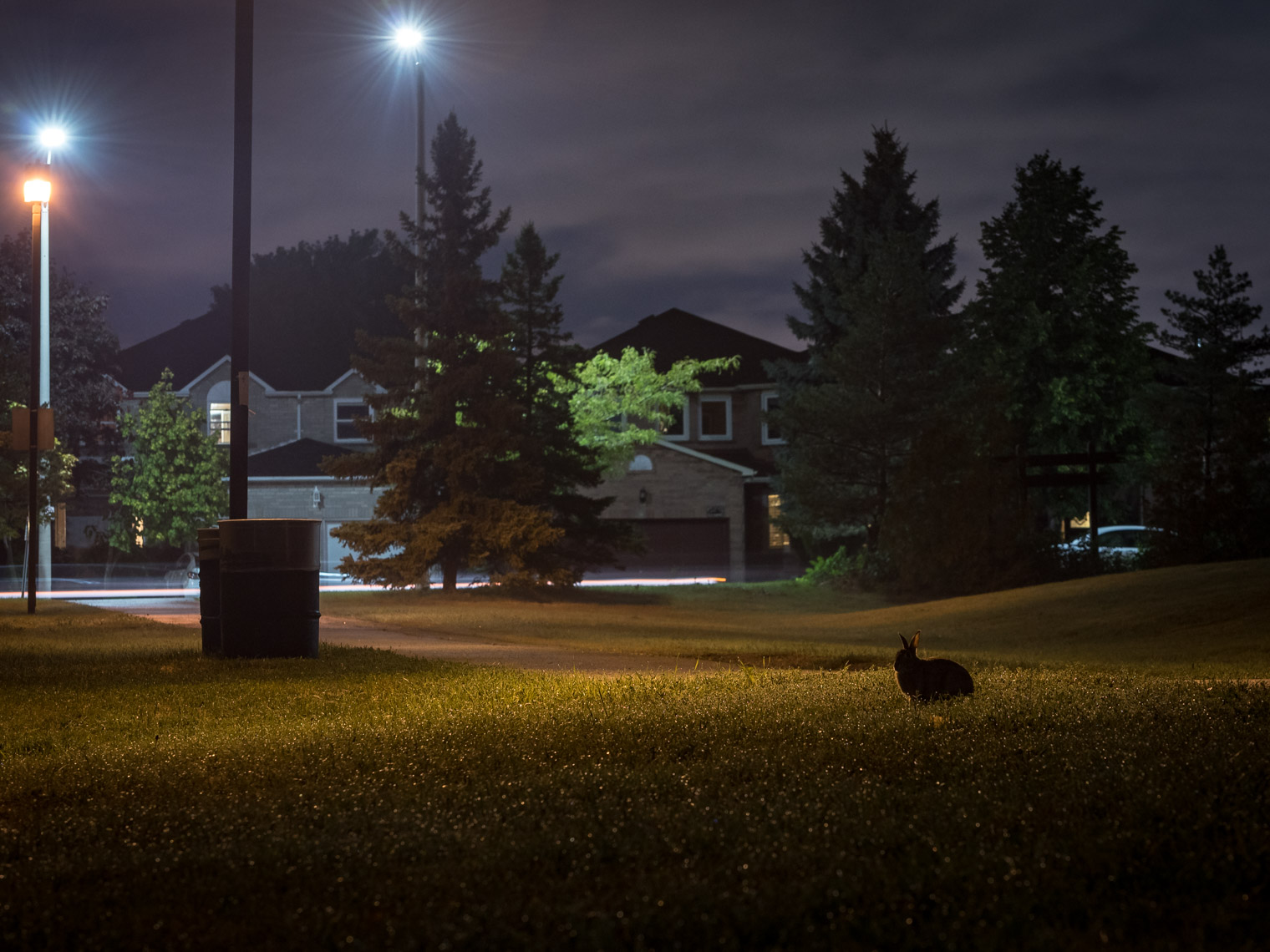 Eastern cottontail in a Mississauga suburb park at night