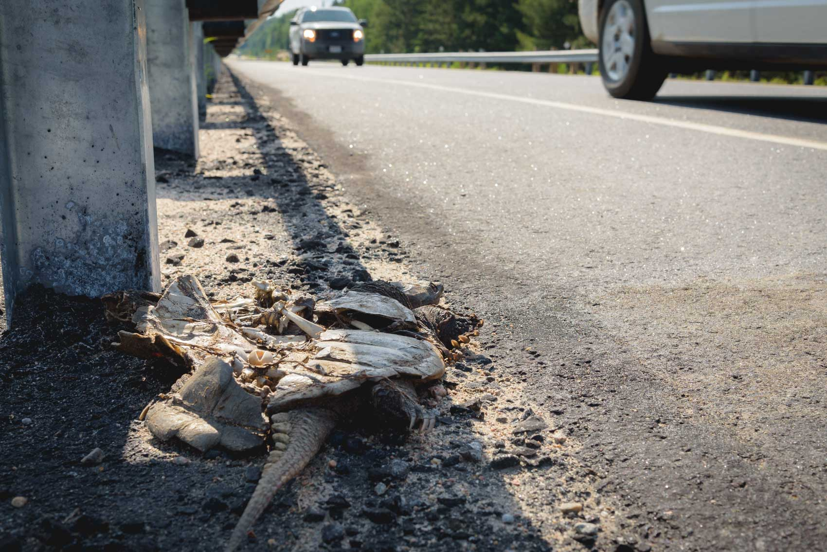 Crushed snapping turtle on side of highway 60 in Algonquin Park © David Coulson Canadian conservation photojournalist