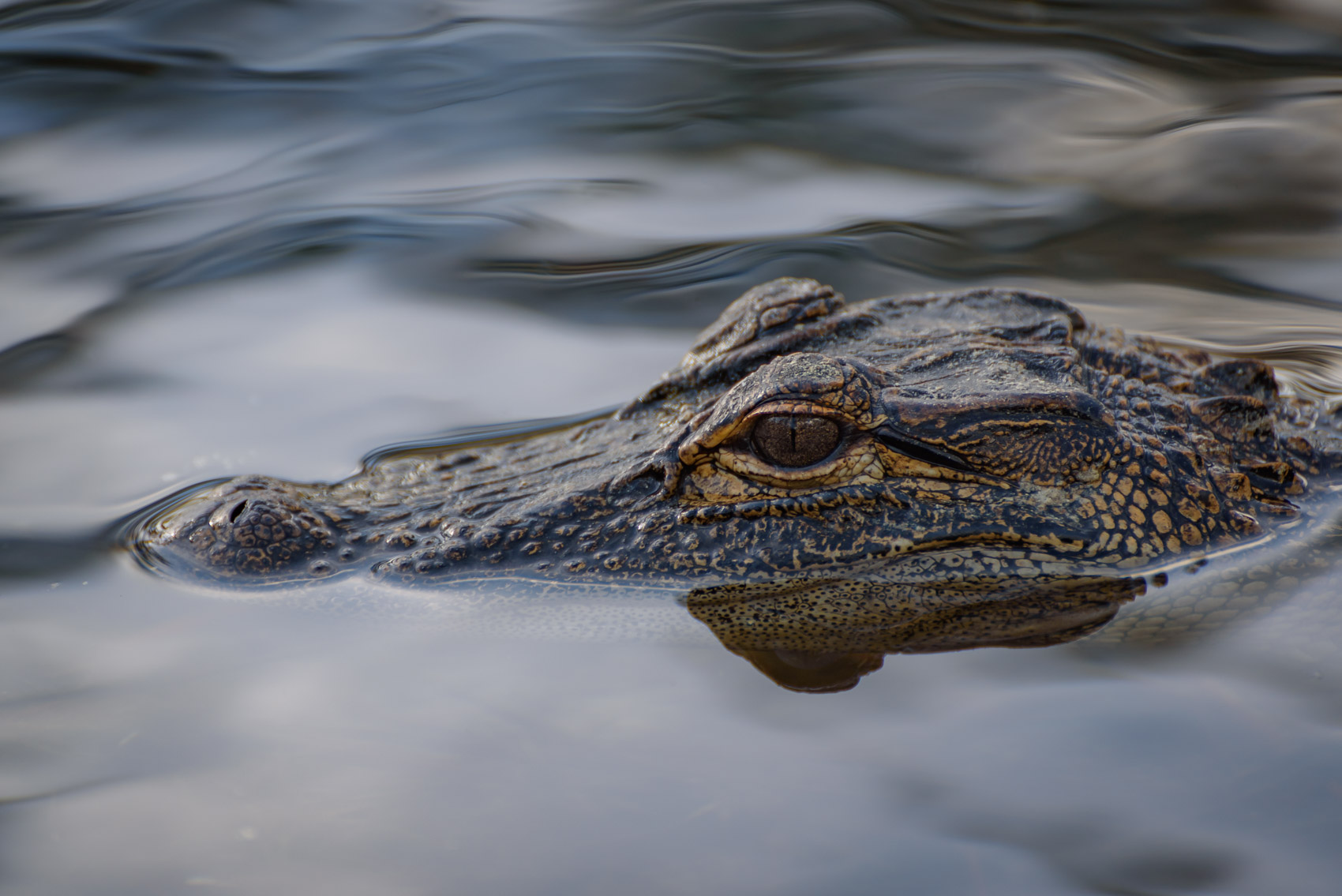 American alligator head in a swamp in Okefenokee National Wildlife Refuge
