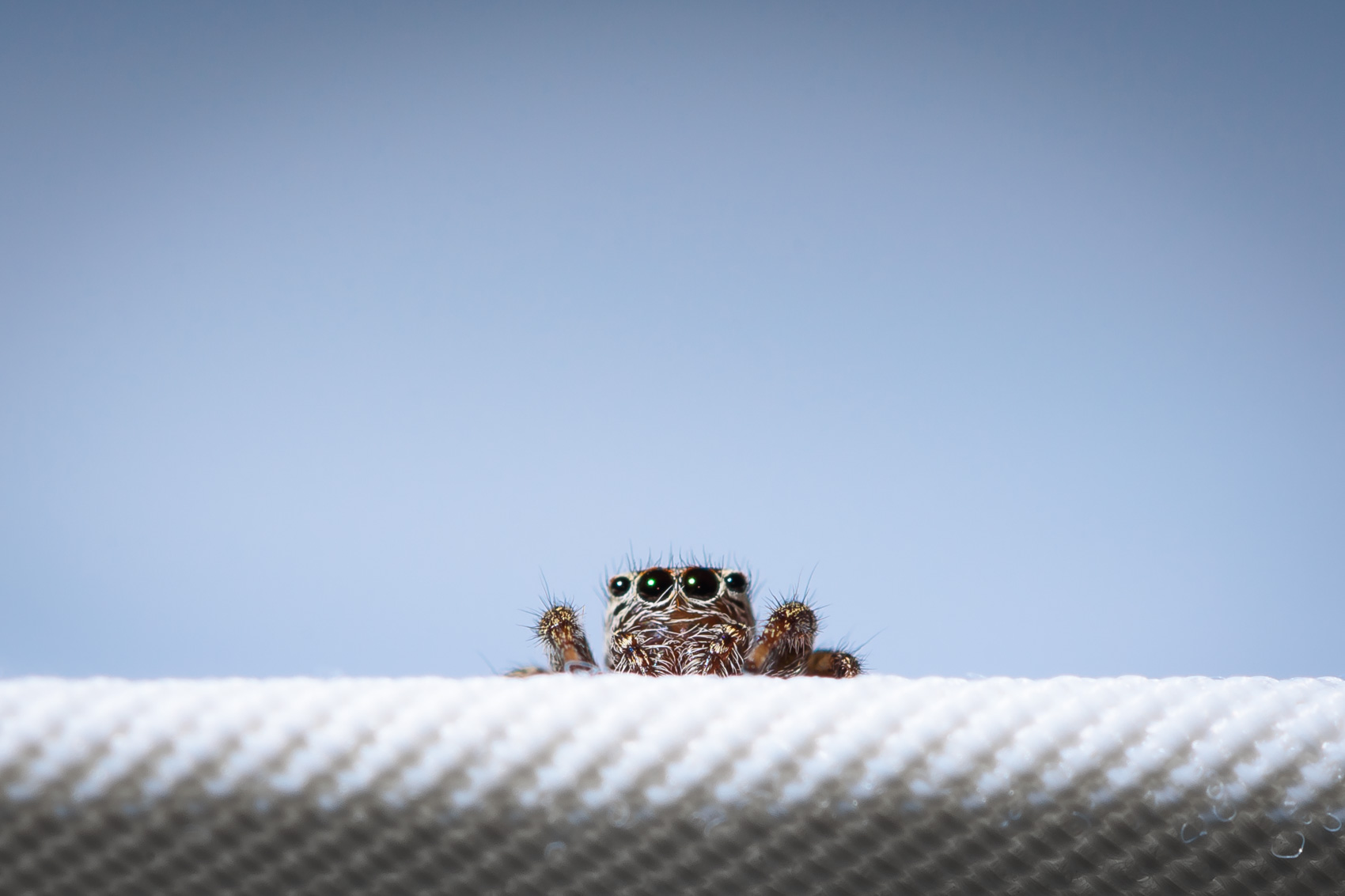 Jumping spider peaking out from a chair