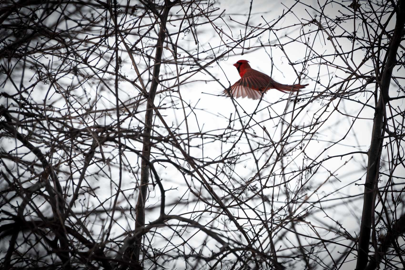 Northern cardinal flying through trees in Burlington