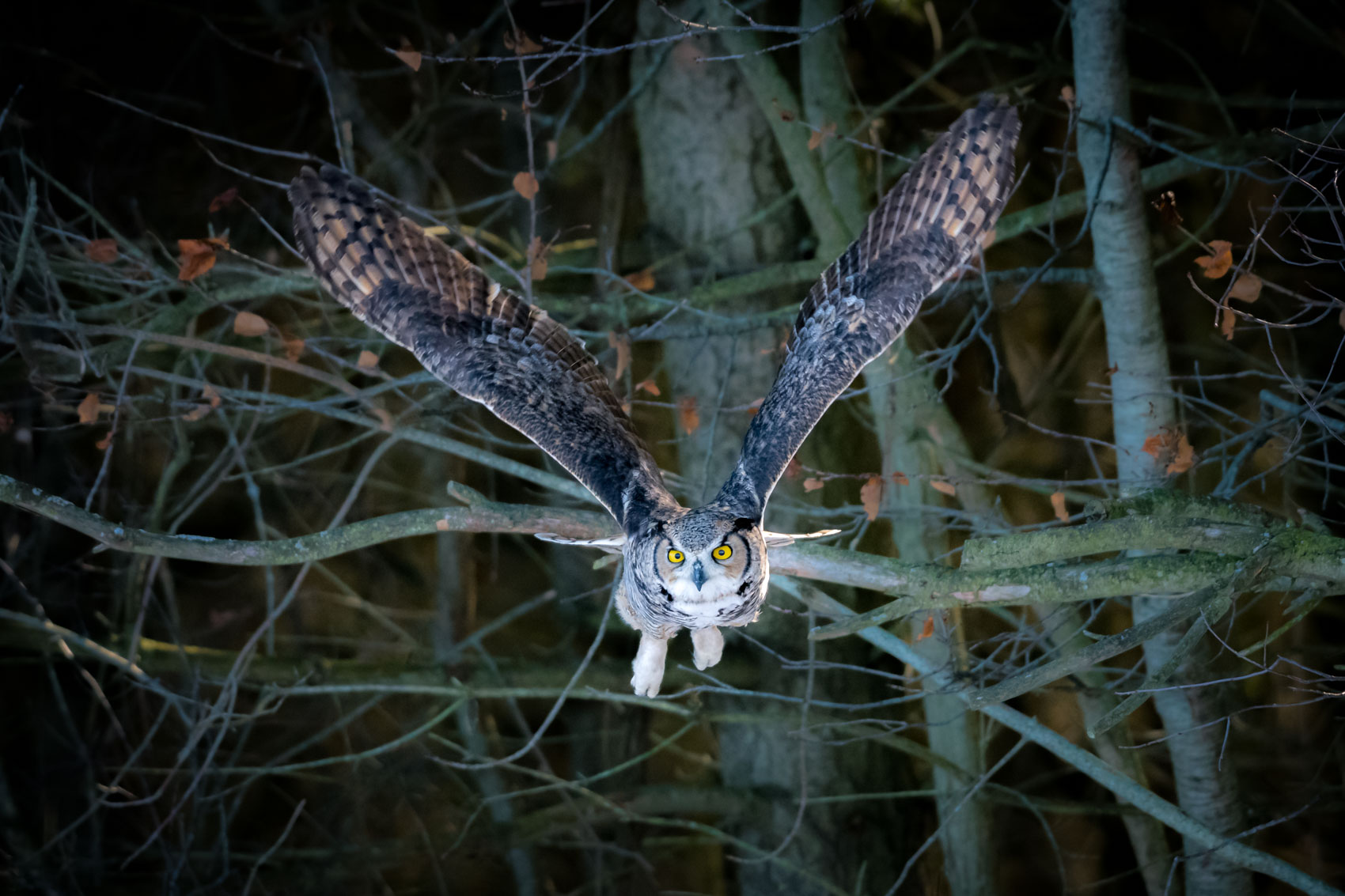 Great horned owl in flight in a forest