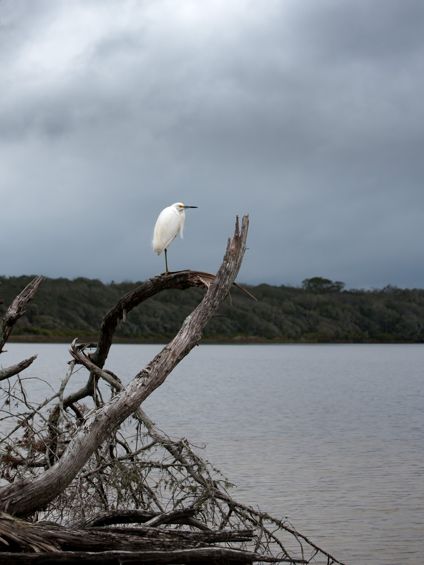 Snowy Egret perched on a tree at Guana Tolomato Matanzas National Estuarine Research Reserve