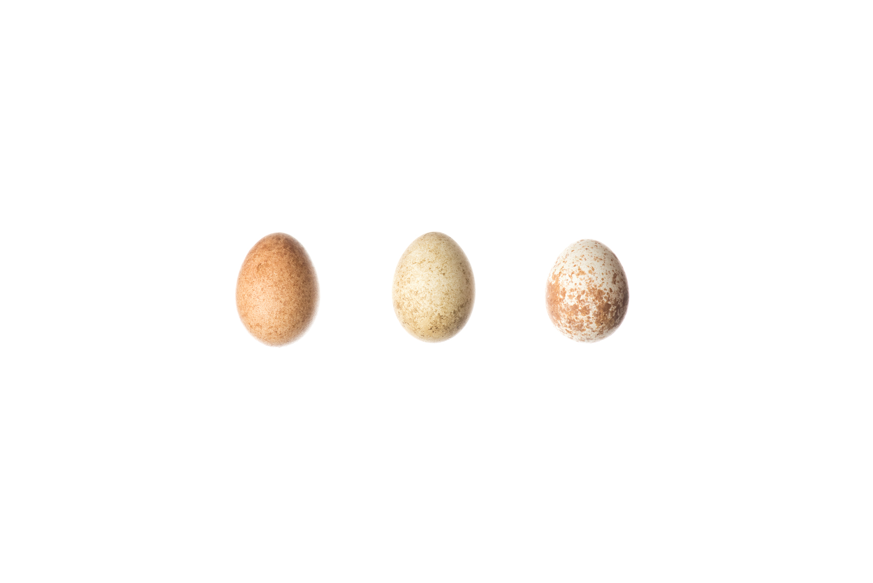 Three Prarie Falcon eggs, Royal Ontario Museum specimens © David Coulson