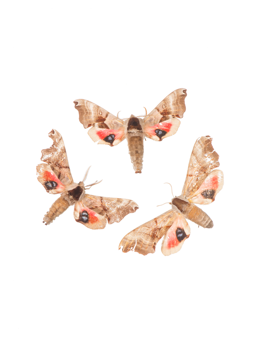 Three Hawk Moths, Royal Ontario Museum specimens © David Coulson