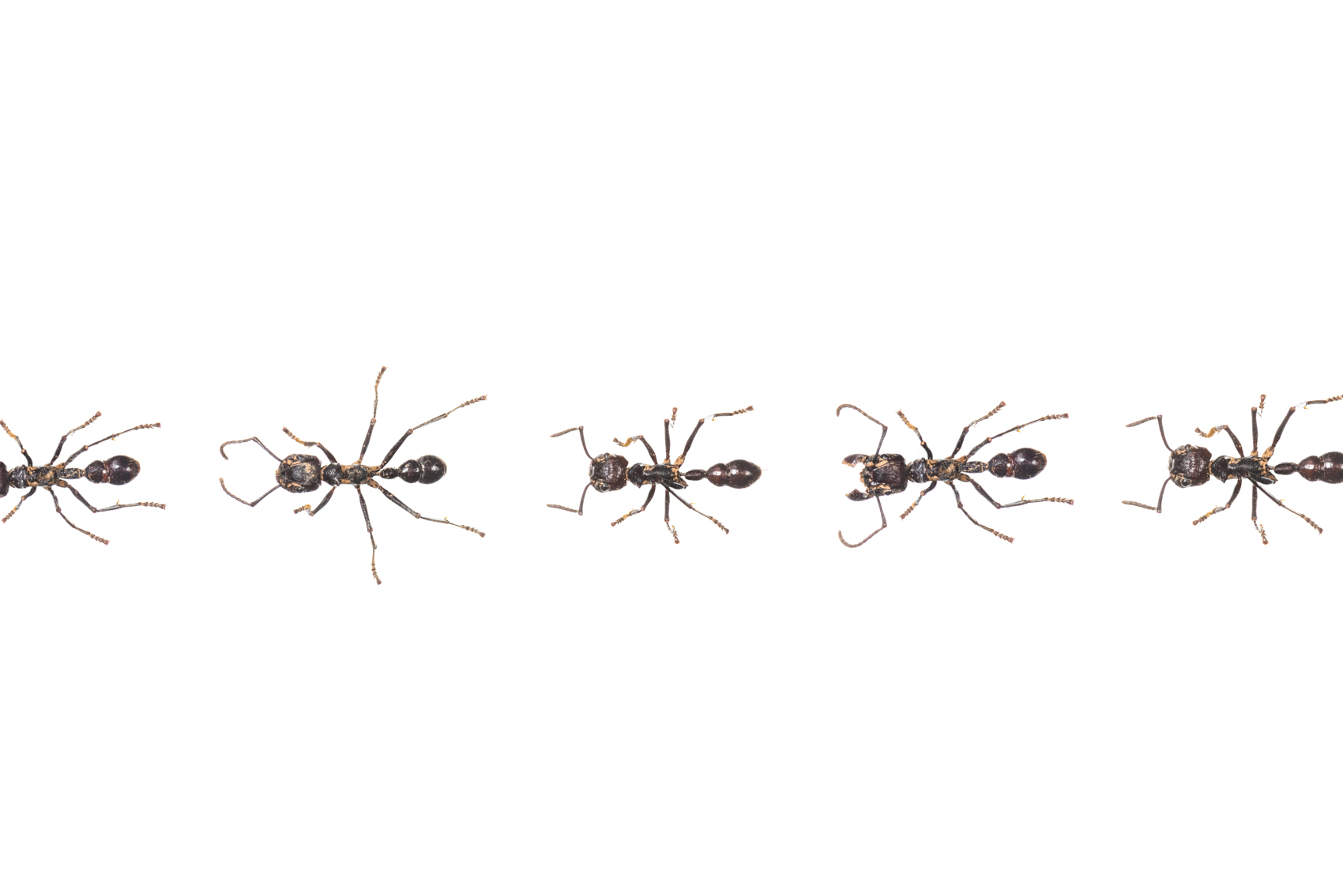 Ants in a row, Royal Ontario Museum specimens © David Coulson