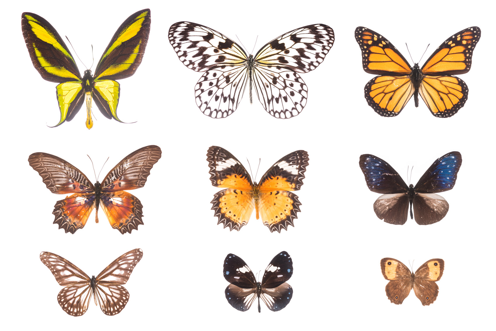 Butterfly Collection, Royal Ontario Museum specimens © David Coulson