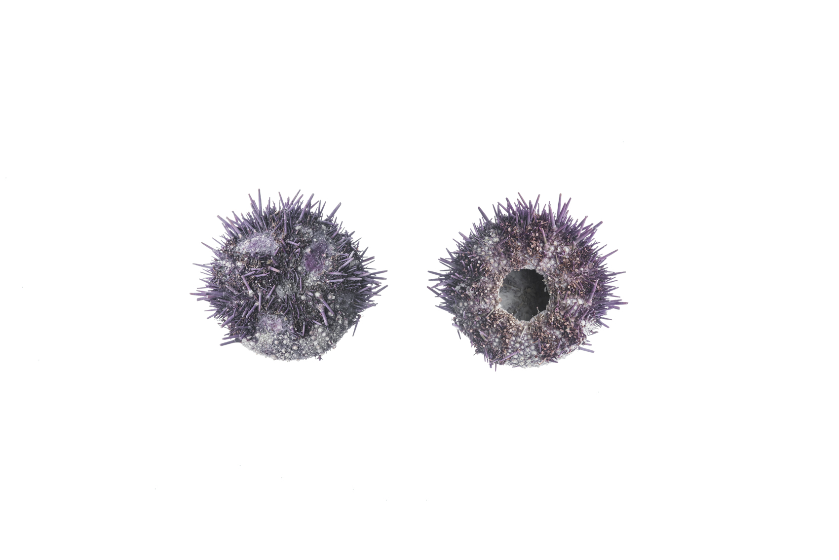 Two Sea Urchins, Royal Ontario Museum specimens © David Coulson