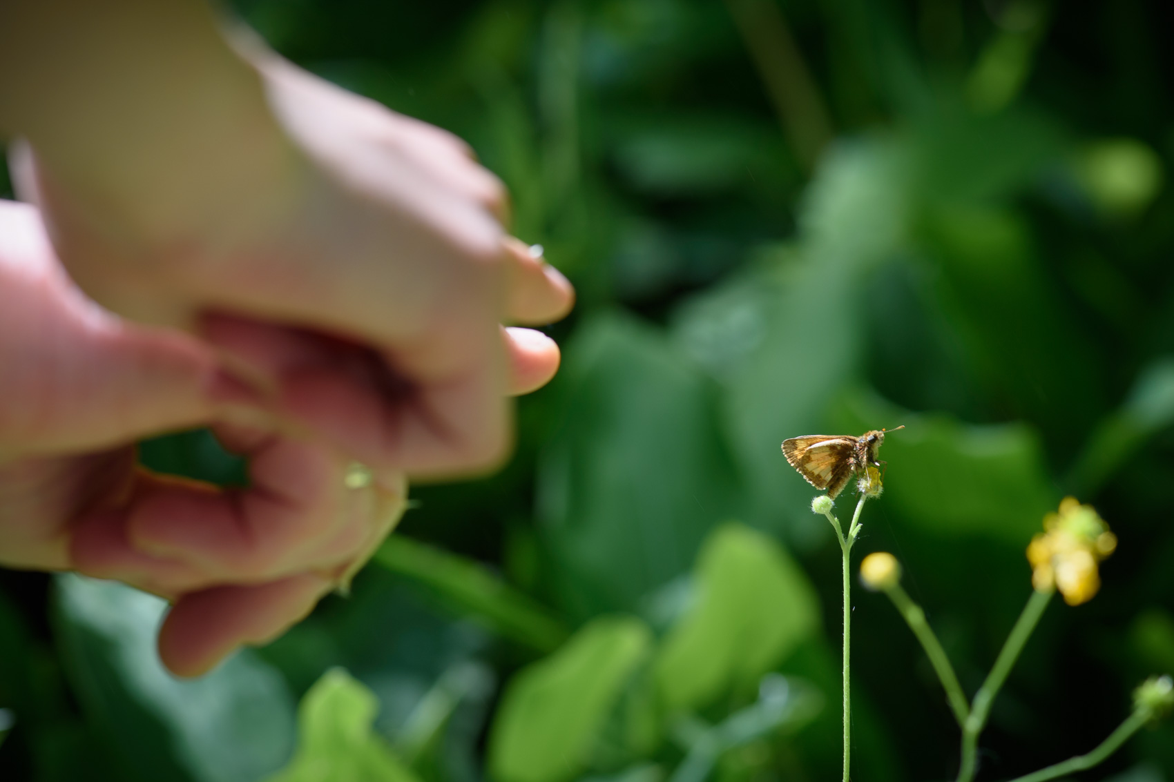 A pair of hands pointing at a skipper butterfly on a flower during a BioBlitz