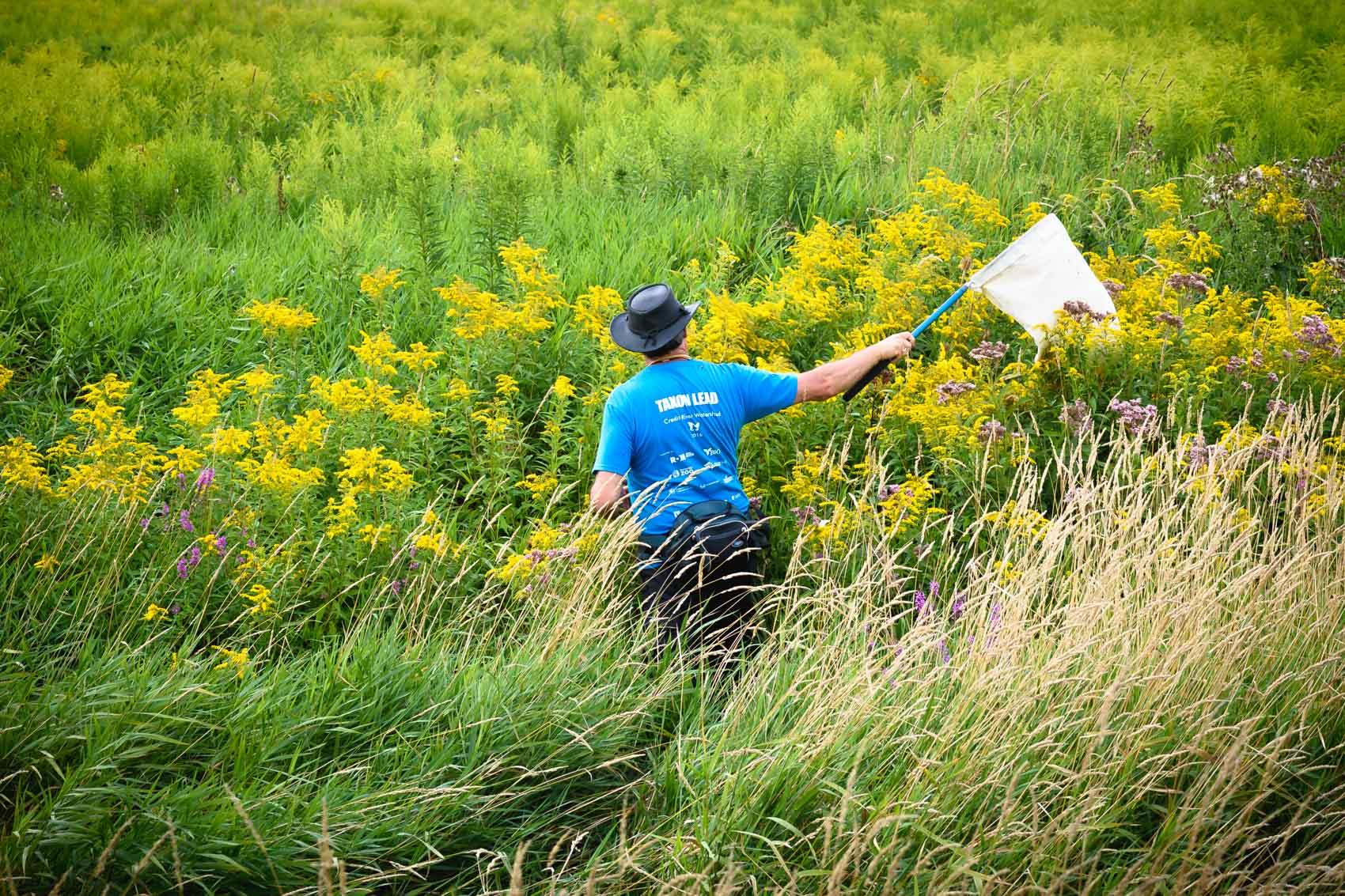 A scientist sweeps through a field with a net looking for spiders © David Coulson conservation photojournalist
