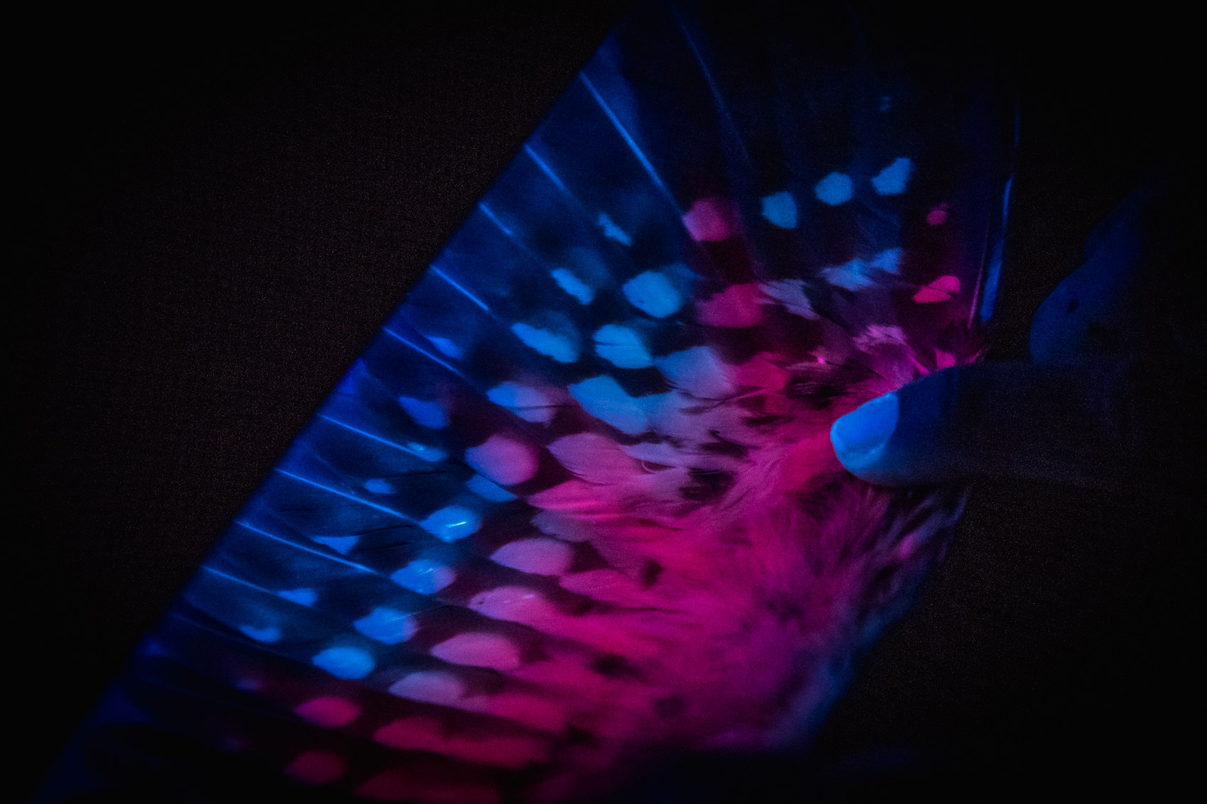 Northern Saw-whet owl wing under ultra violet light © David Coulson conservation photographer