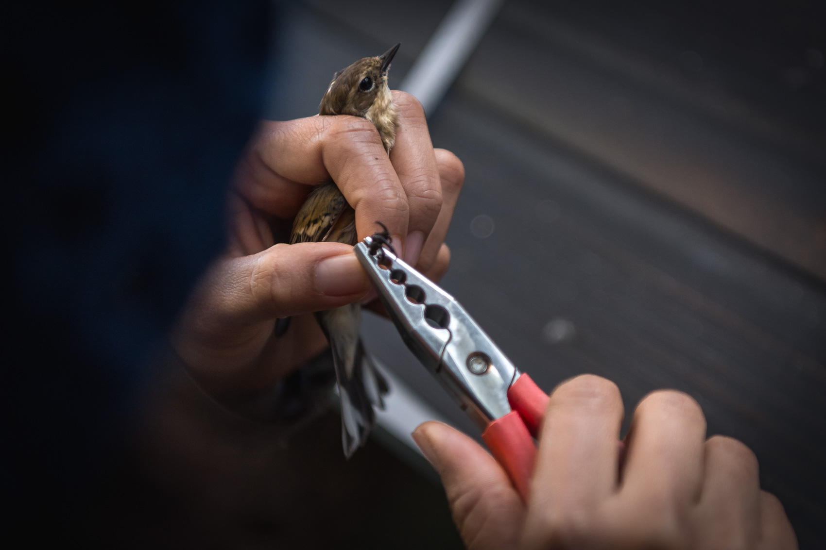 A bird bander uses banding pliers to place a band on a birds leg at the Long Point Bird Observatory research station