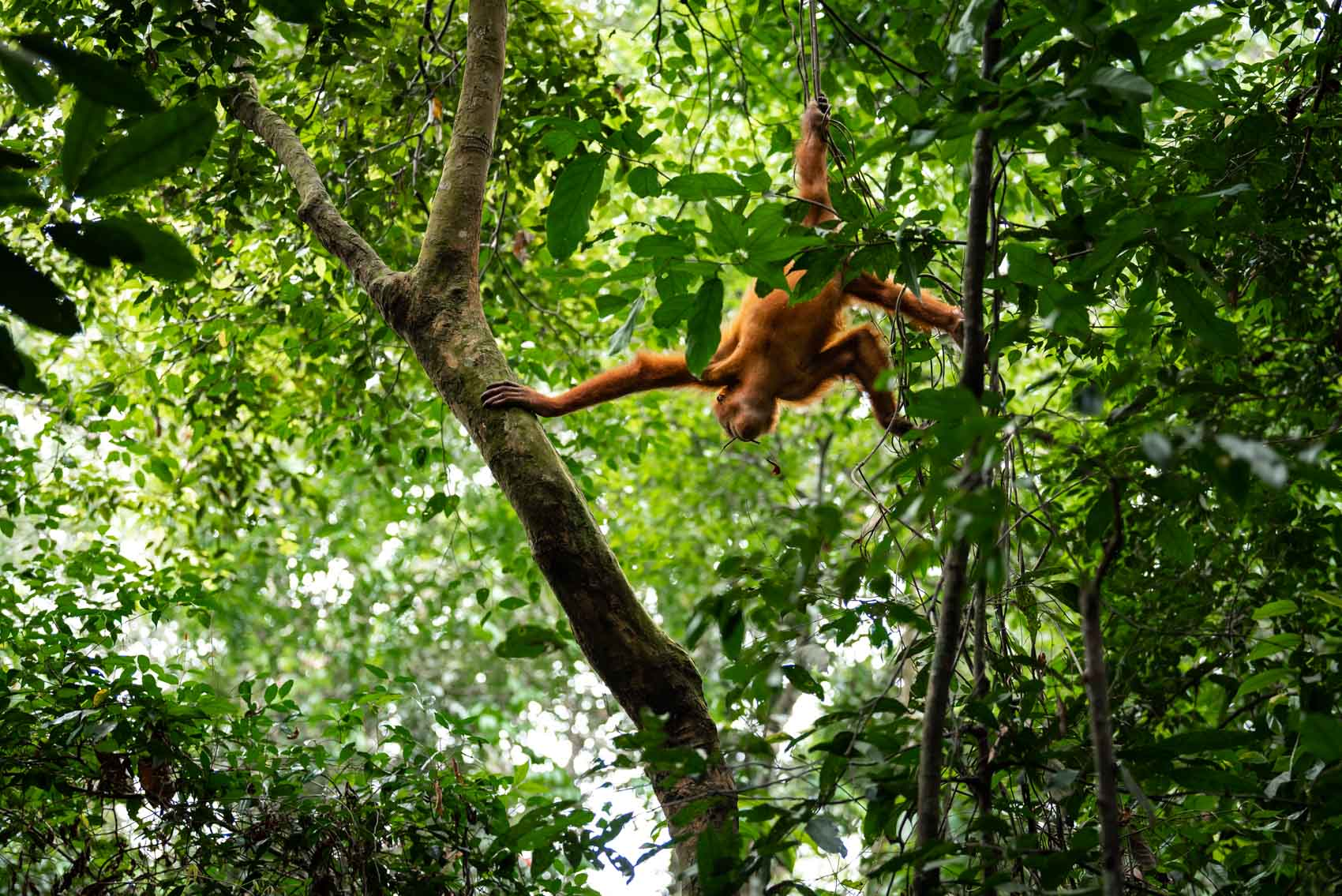 A baby orangutan hanging from branches in the rainforest in Sumatra Indonesia