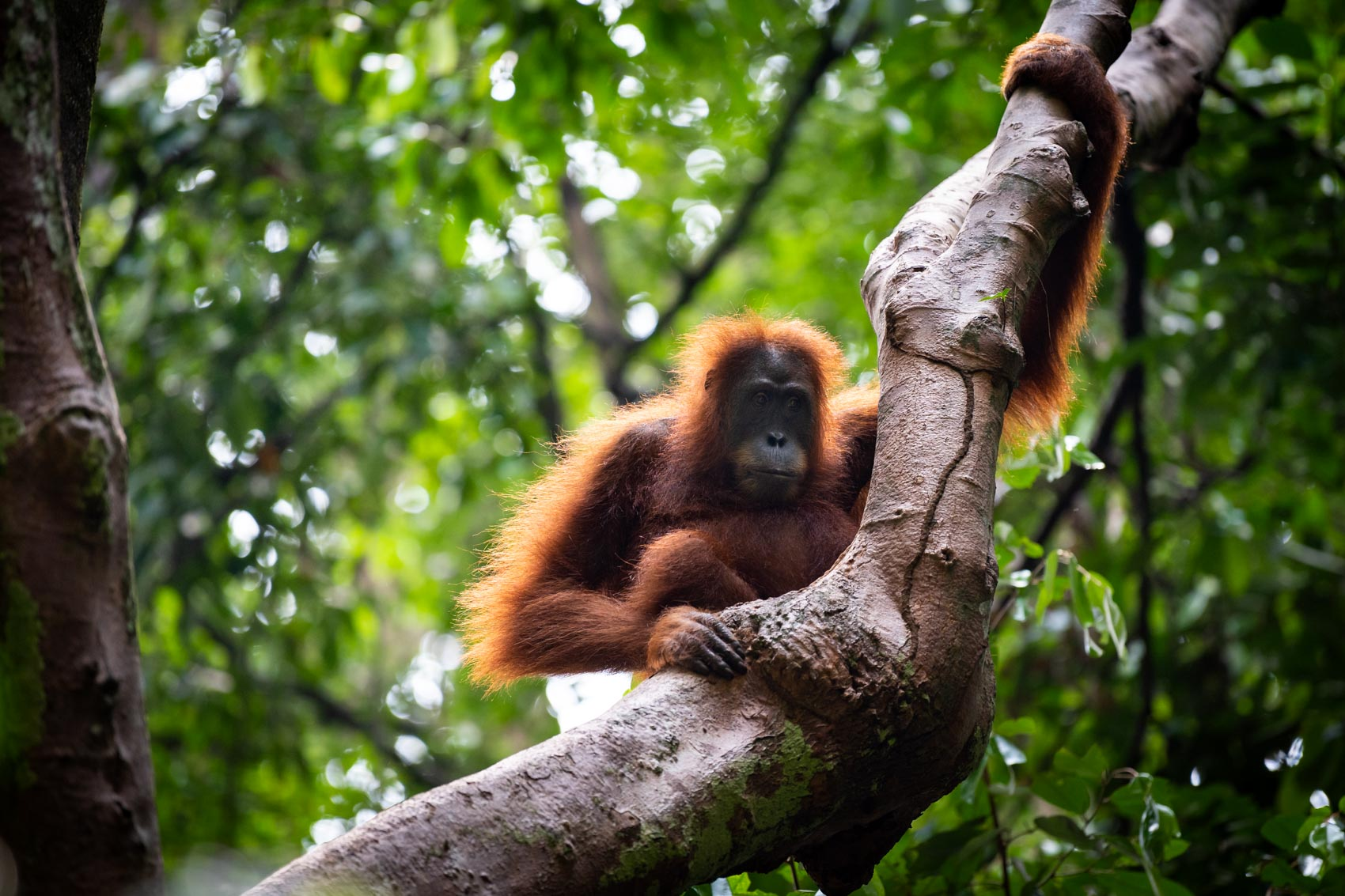 A female orangutan holds on to a branch of a tree inside the Gunung Leuser National Park