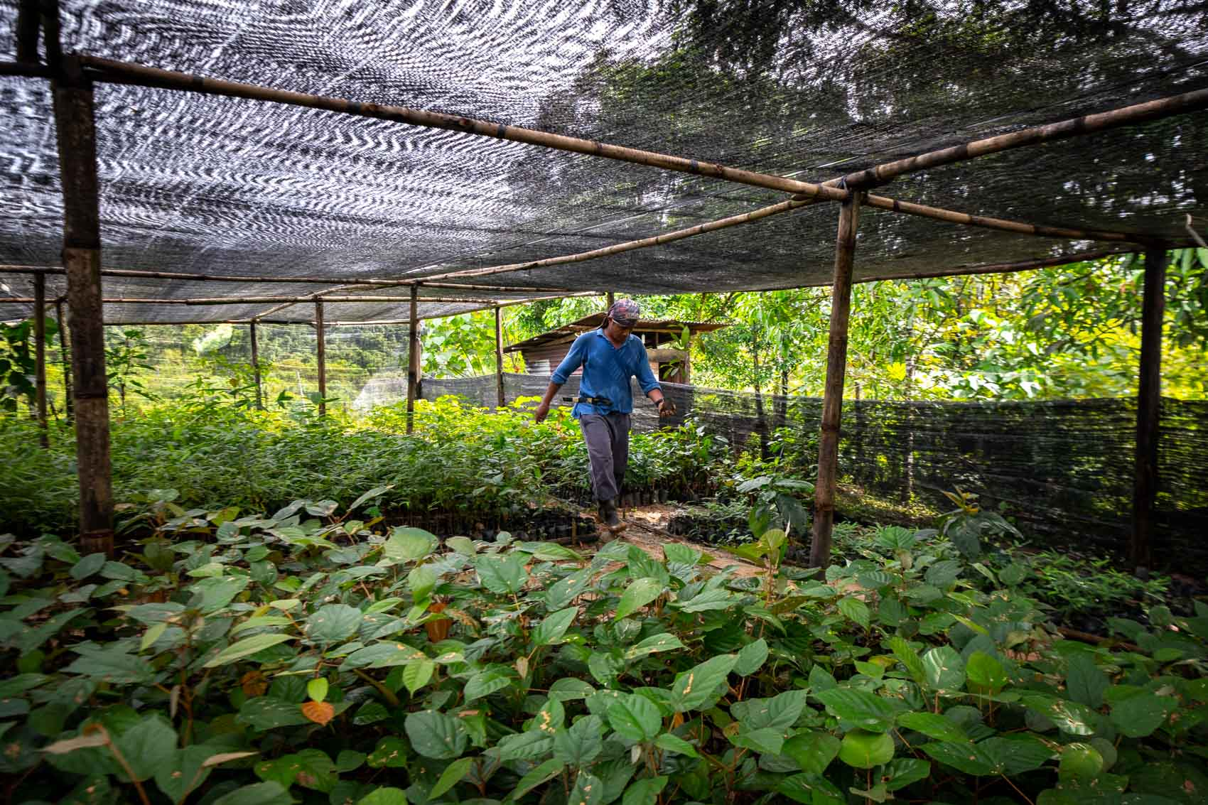 A restoration technician walks through a nursery filled with seedlings at the Orangutan Information Centre
