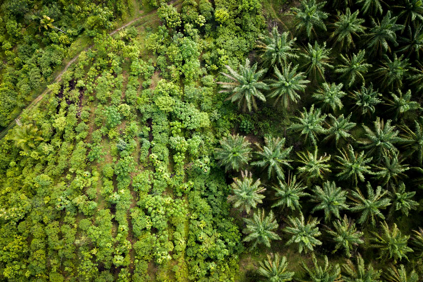 Aerial view of palm oil plantation next to a restoration site in Northern Sumatra, Indonesia