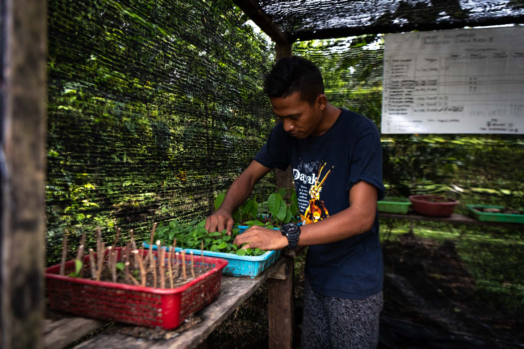 Orangutan Information Centre restoration technician checks on seedlings in a nursery