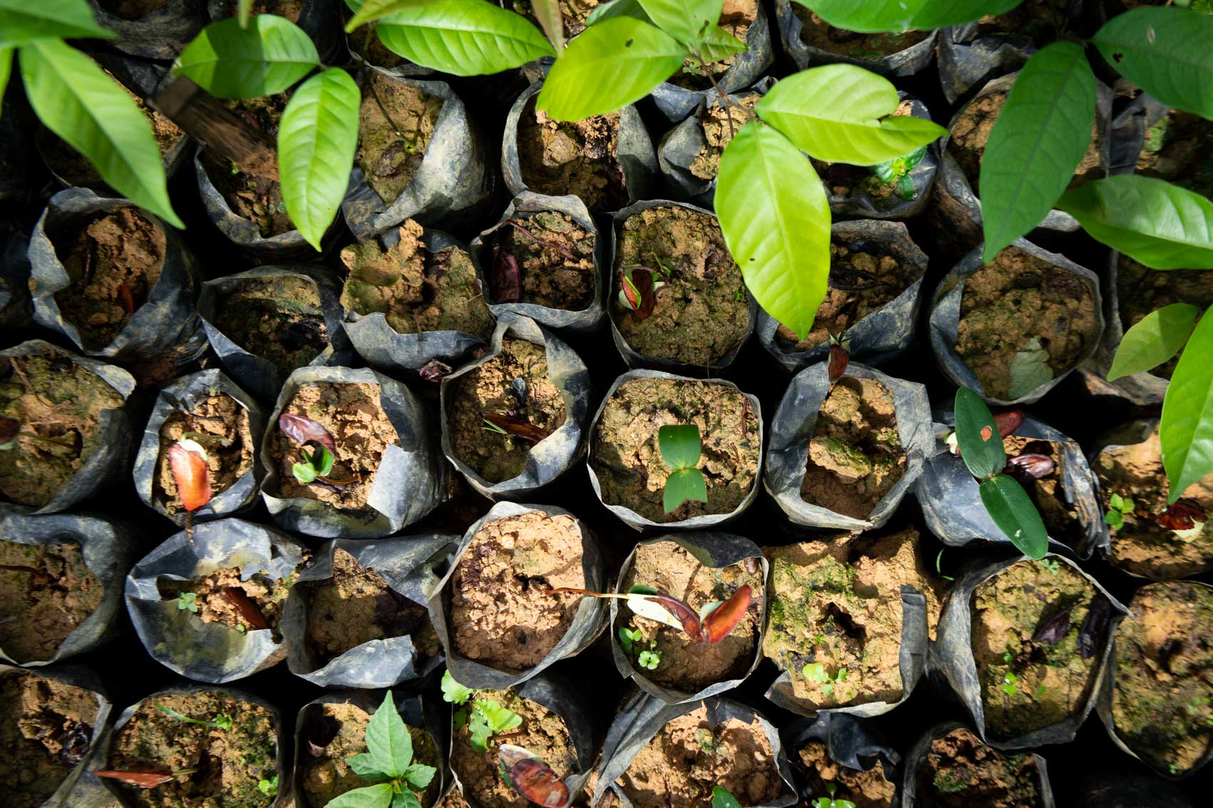 Seedlings in a plastic containers at the Orangutan Information Centre Cinta Raja restoration site