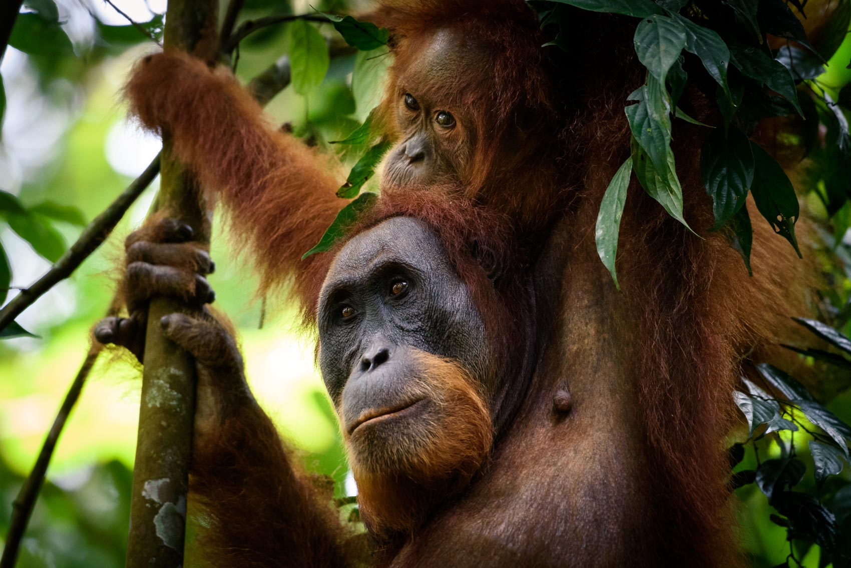 A female orangutan with her child hanging on top inside the Gunung Leuser National Park