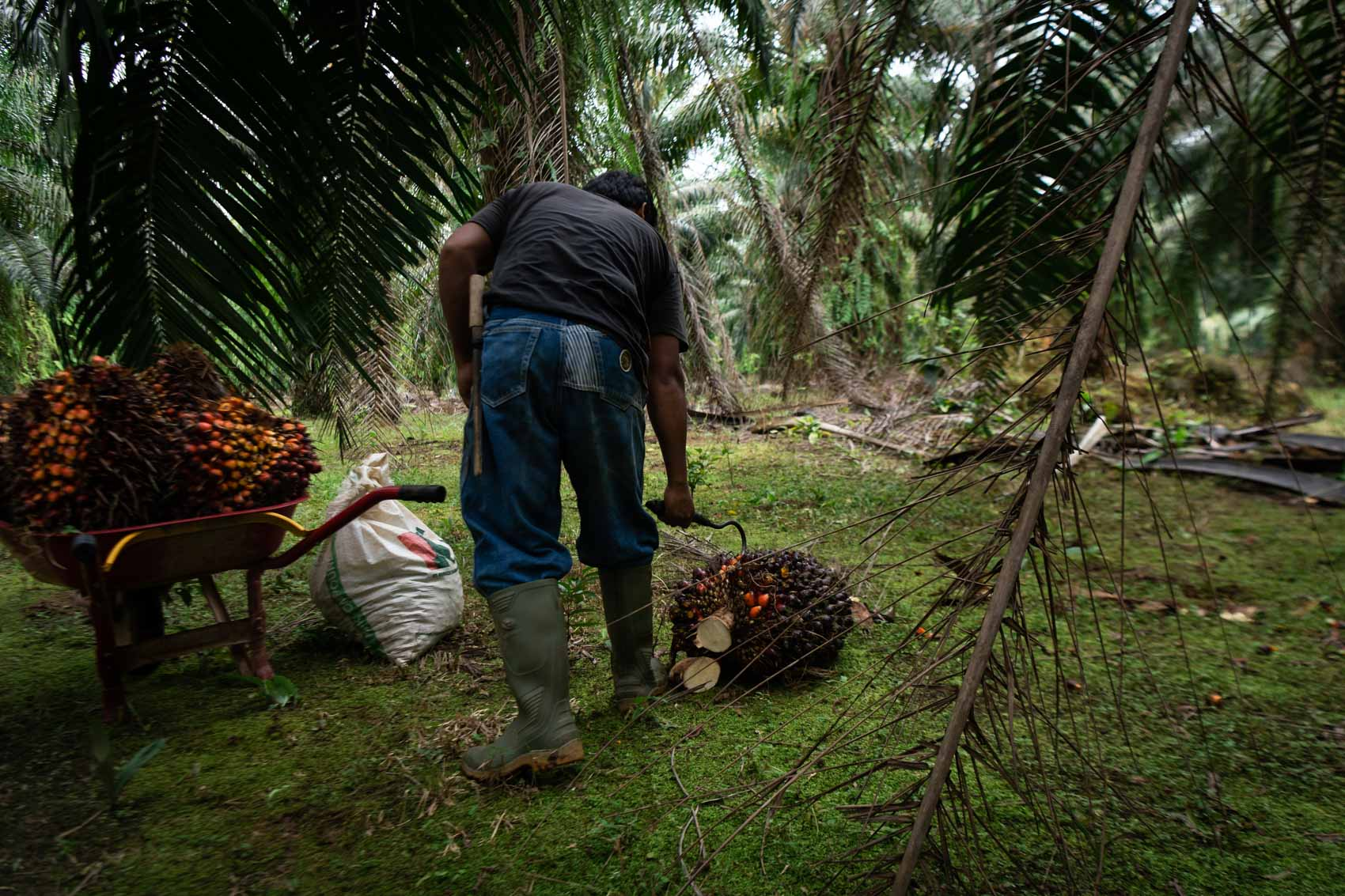 A palm oil worker hooking palm oil next to a wheel barrow filled with palm oil