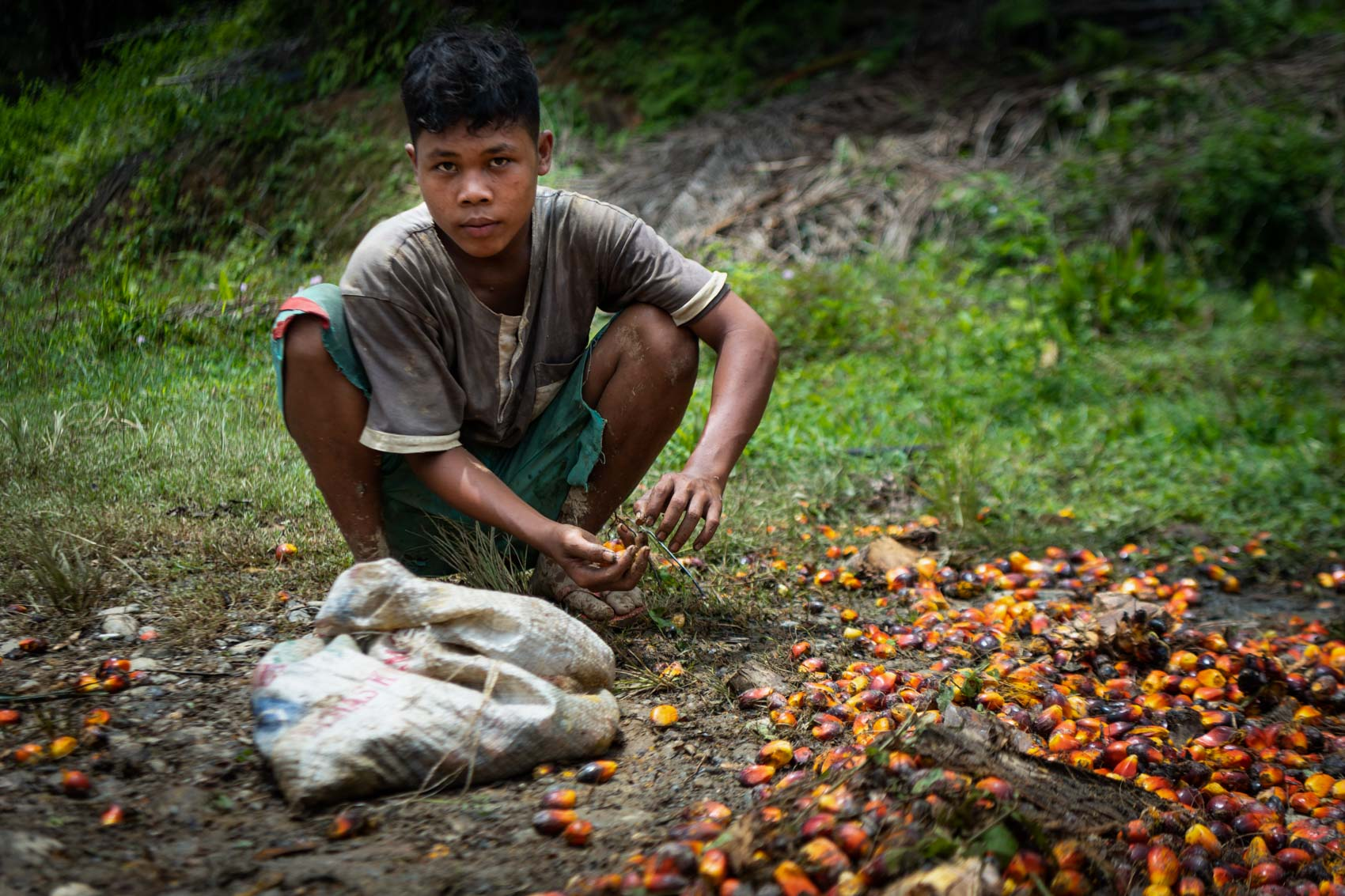 A boy collecting palm oil fruit on the ground in Northern Sumatra, Indonesia