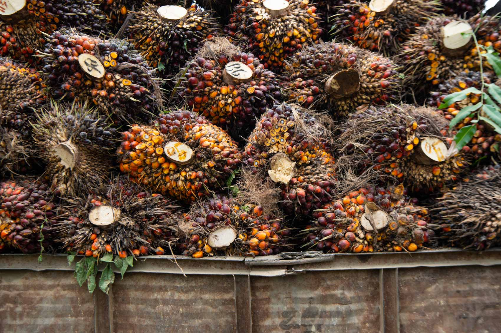 Bunches of palm oil fruit on the back of a truck © David Coulson conservation photographer