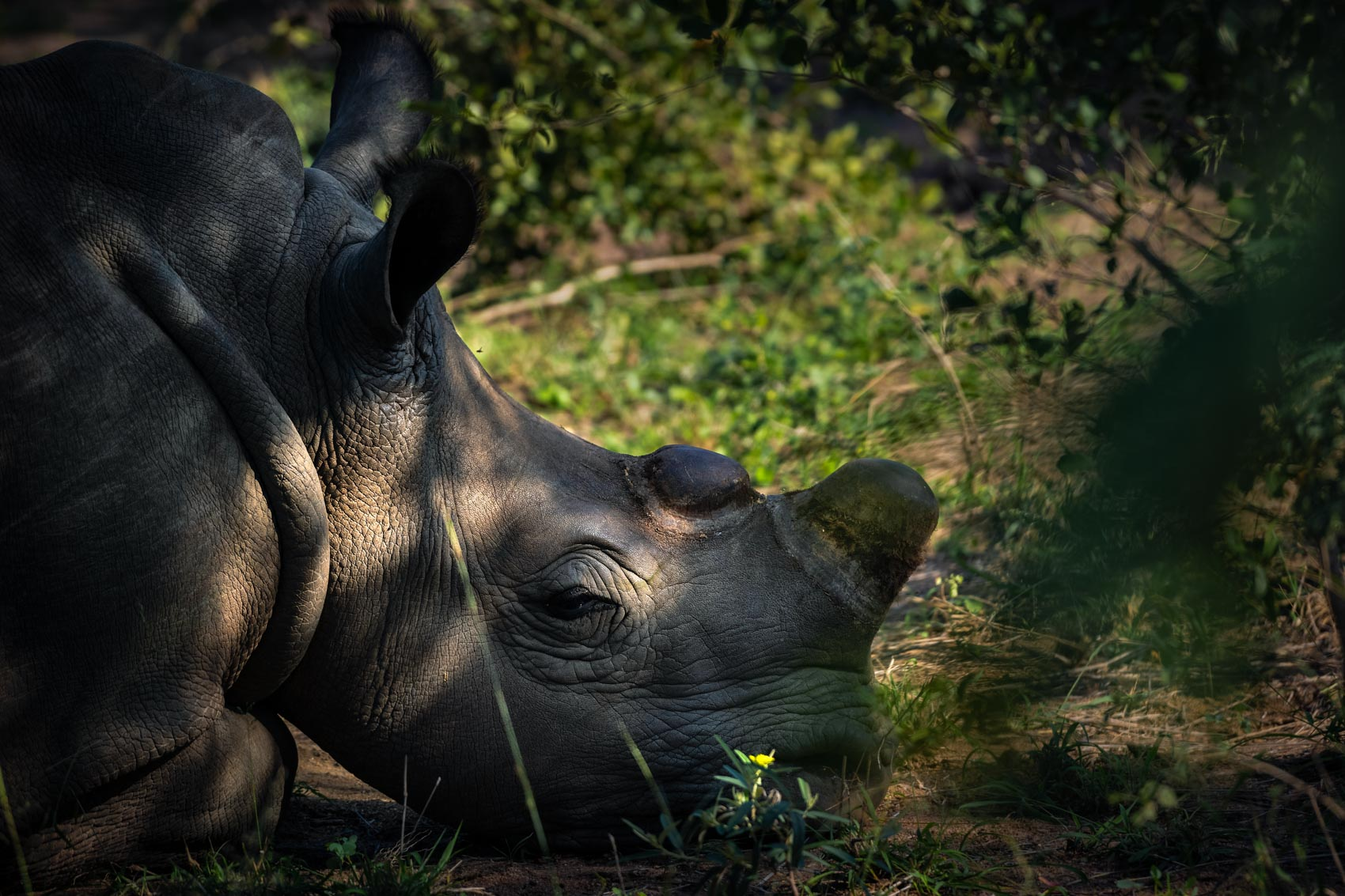 A dehorned southern white rhino paying down in the grass at the Hoedspruit Endangered Species Centre in South Africa