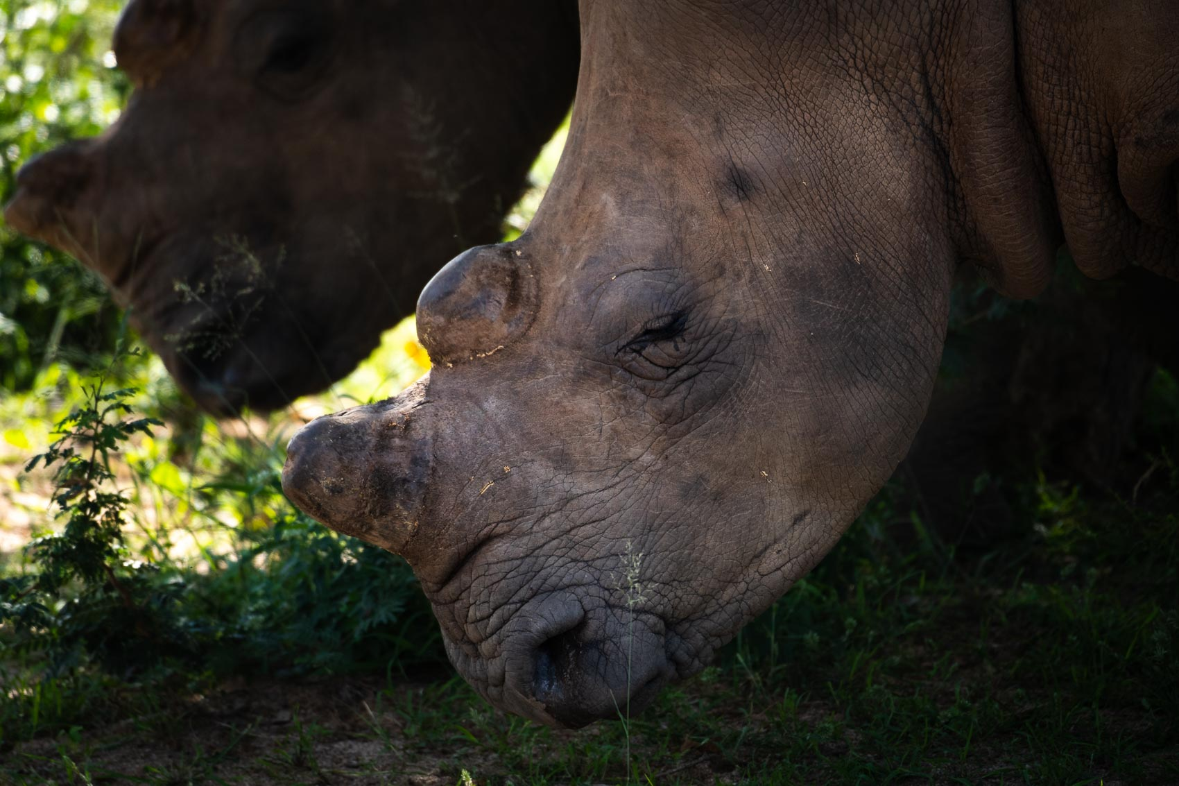 The face of a dehorned southern white rhino at the Hoedspruit Endangered Species Centre in South Africa