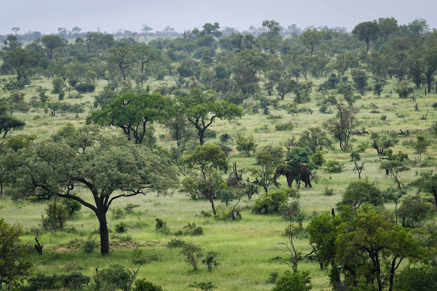 African savanna with an elephant in South Africa