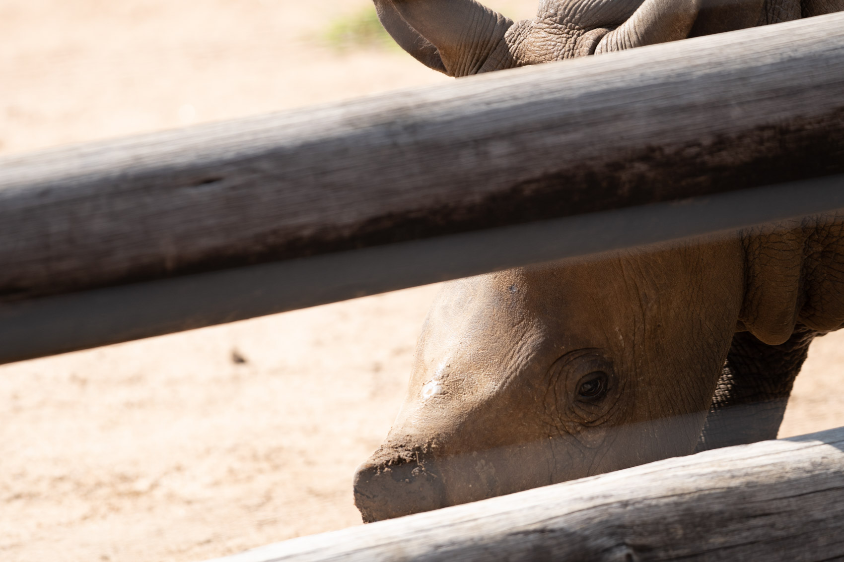 A baby southern white rhino dehorned on the other side of a wooden fence © David Coulson conservation photographer