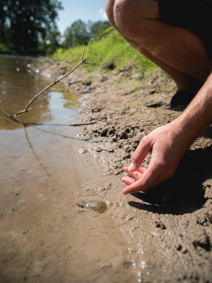 A hand releases a baby spiny softshell turtle into a river bank © David Coulson conservation photographer