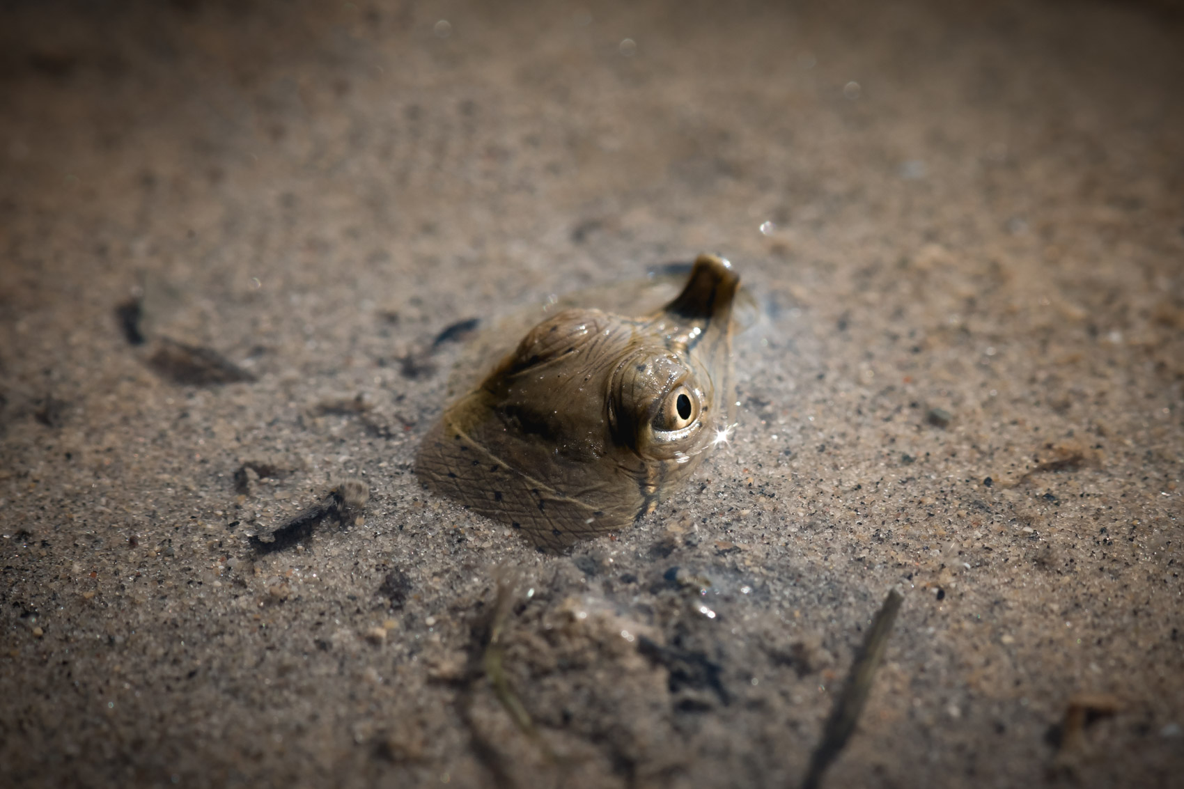 A spiny softshell turtle head poking up from the sand in the Upper Thames River © David Coulson conservation photojournalist