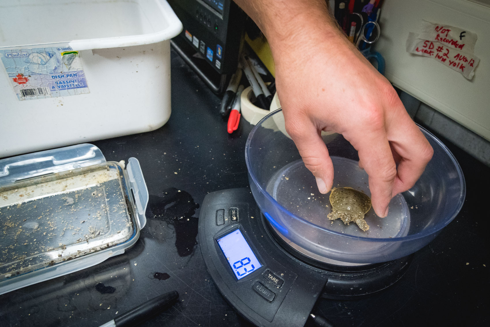 A research assistant measures a baby spiny softshell turtle weight on a scale