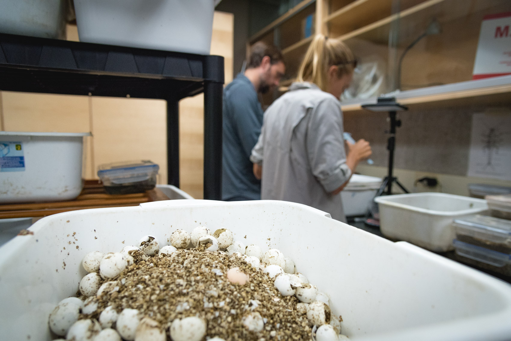 A bucket of hatched spiny softshell turtle eggs with two researchers in the background